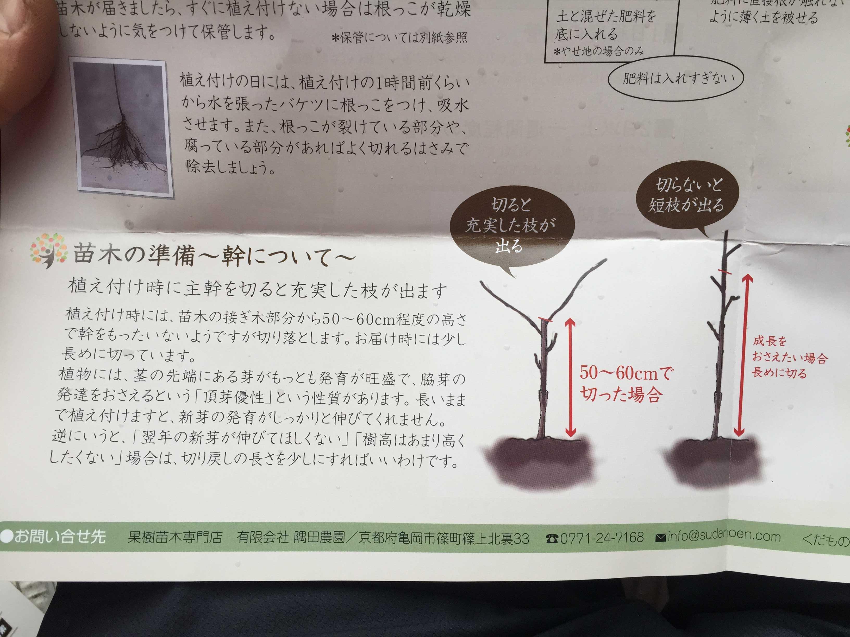 禅寺丸柿の苗木の準備