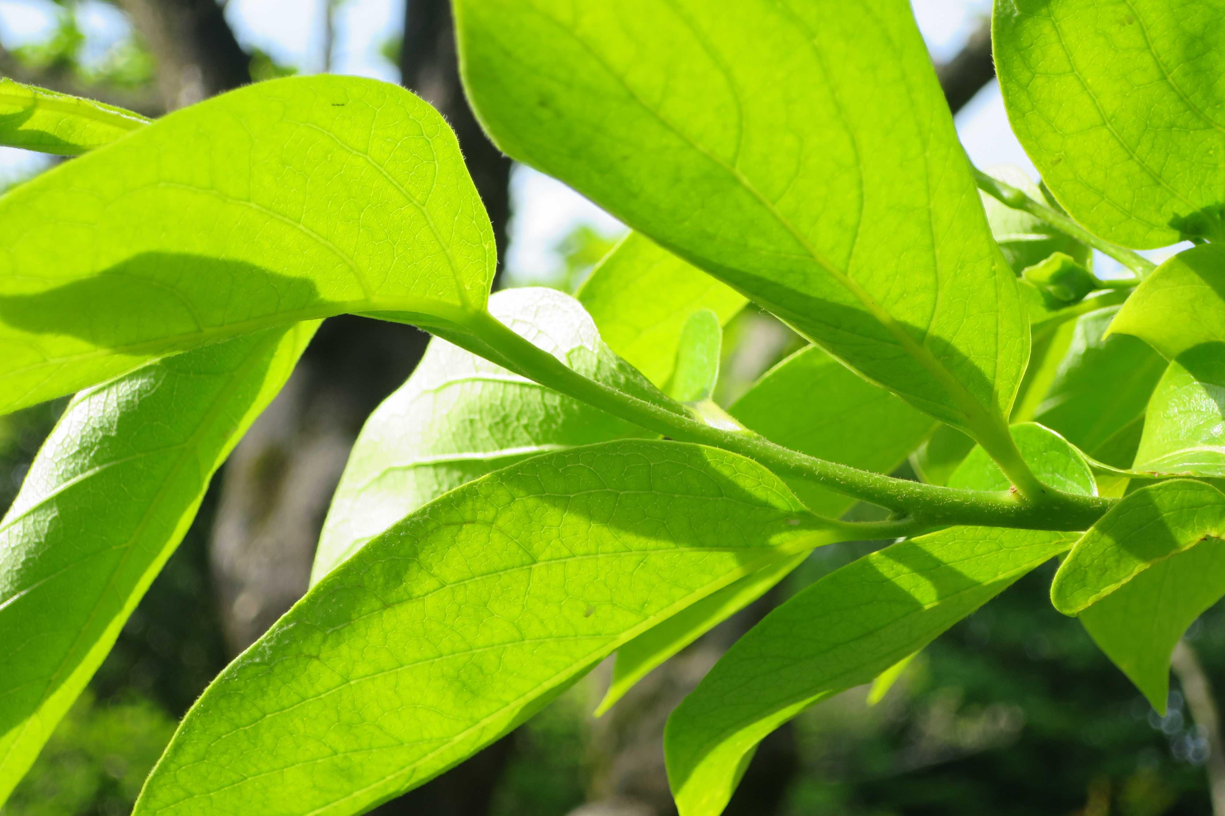 柿若葉の透き通るようなグリーン
