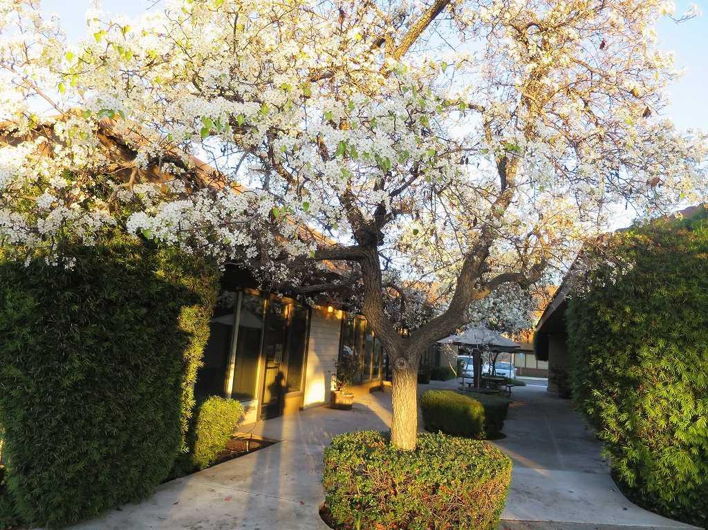 クパチーノの桜(サクラ)