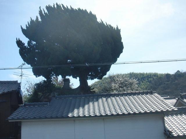 尾道・向島の曲がった木