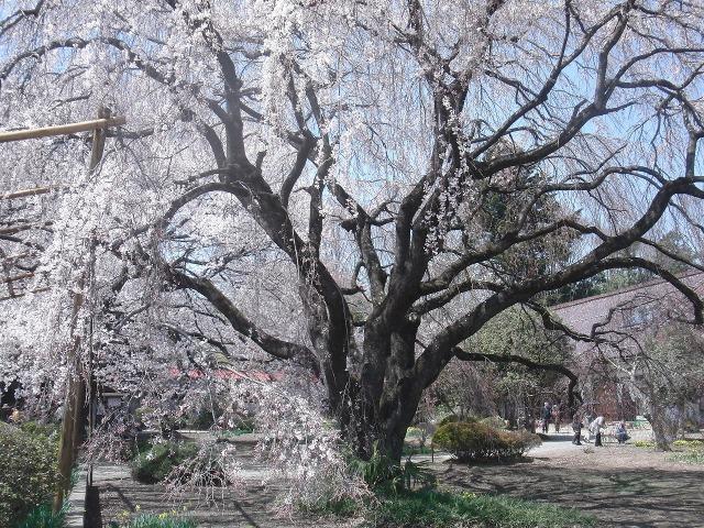 実相寺境内のしだれ桜