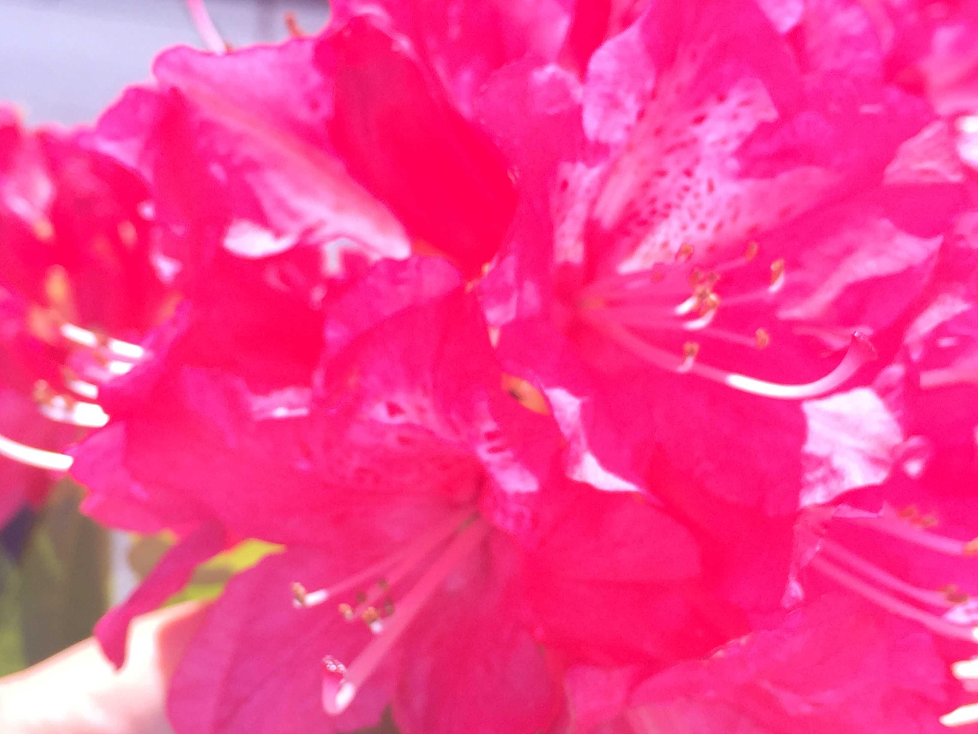 石楠花(シャクナゲ)の花