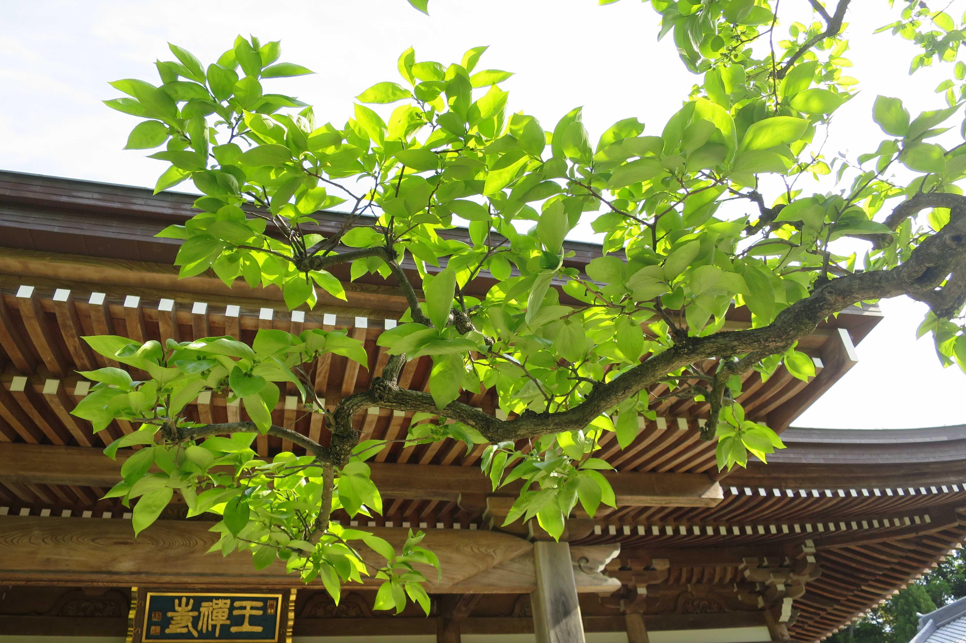 柿の若葉 - 王禅寺