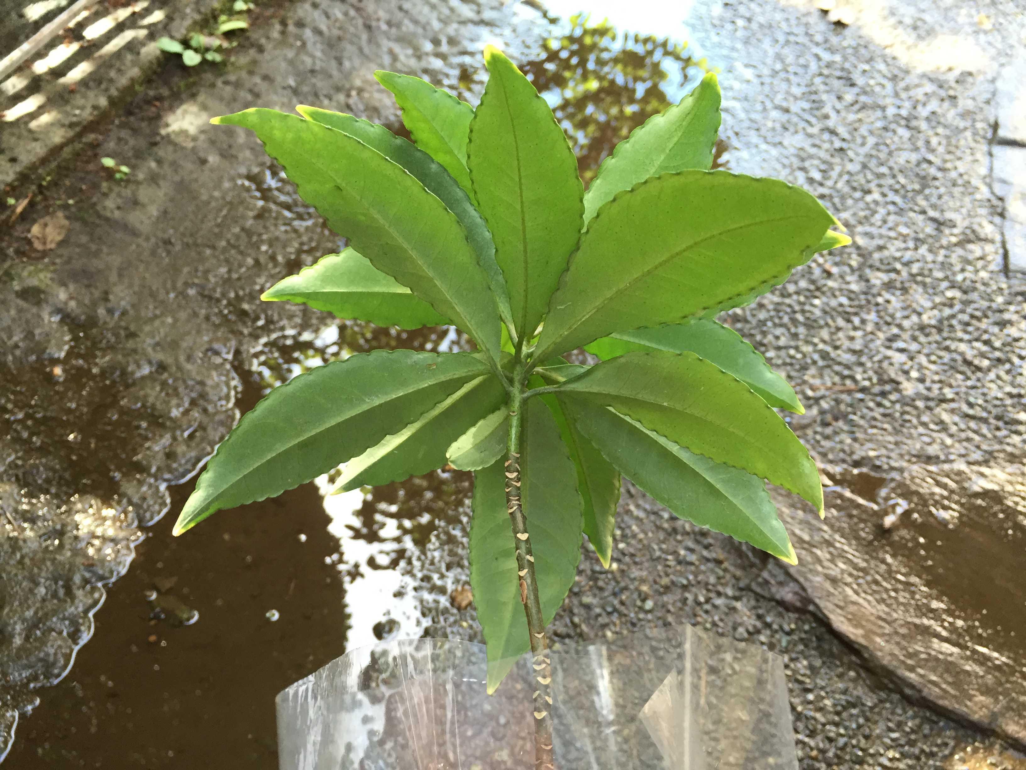 爪斑万両(マンリョウ)の植え付け - 葉っぱの裏側