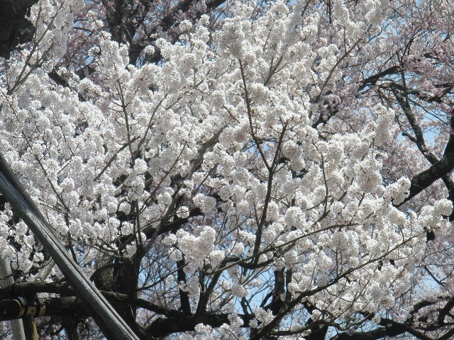 ピンク色の山高神代桜