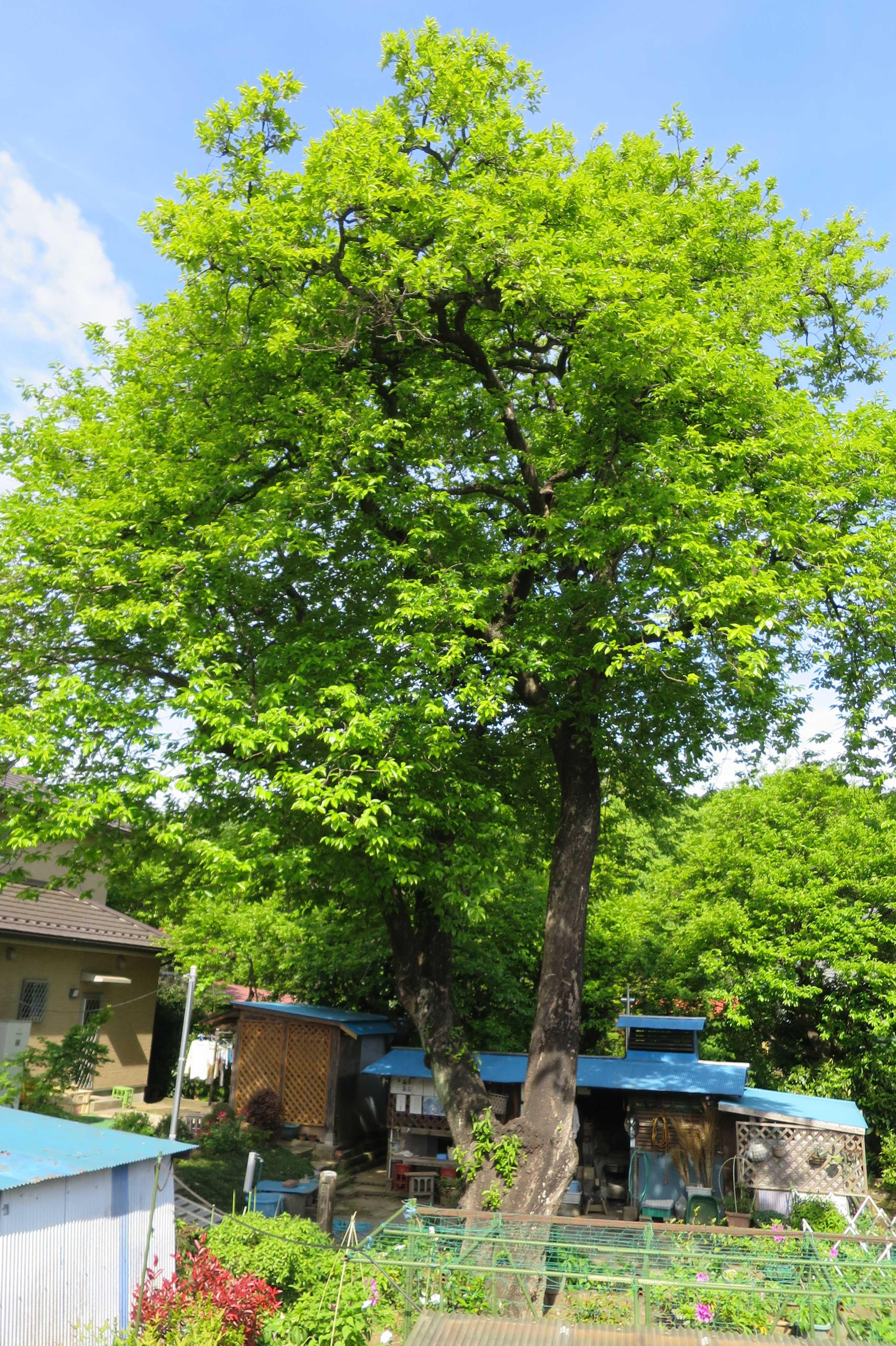 樹齢400年の禅寺丸柿の若葉
