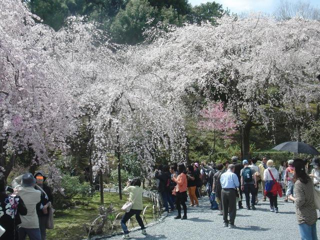 多宝殿の桜