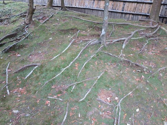 苔寺(西芳寺)の木の根っこ