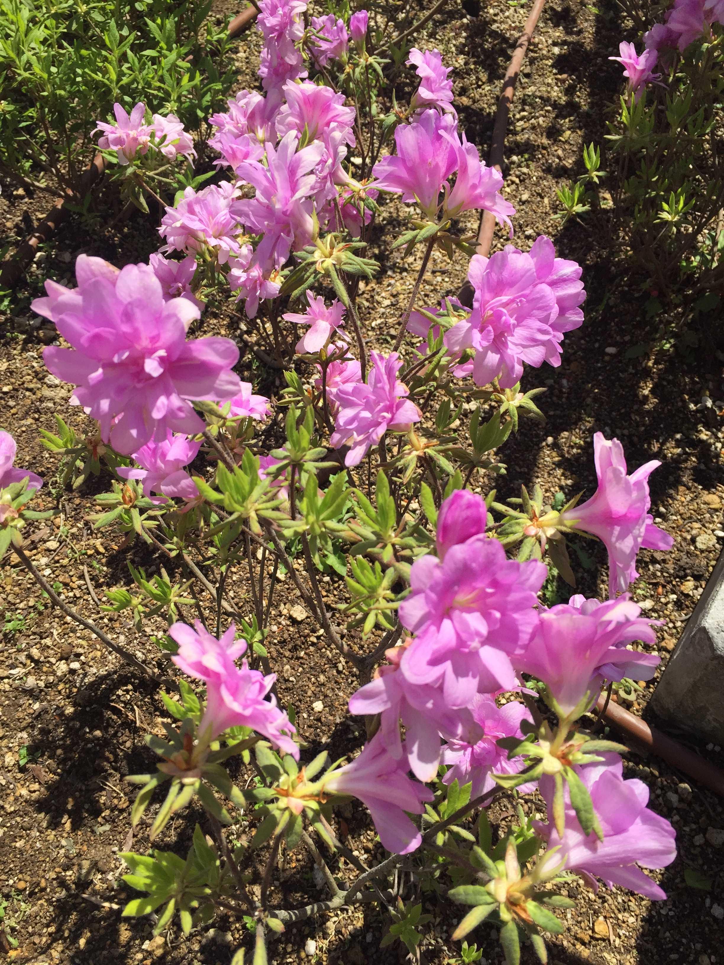 ツツジ「藤万葉」の藤色の花