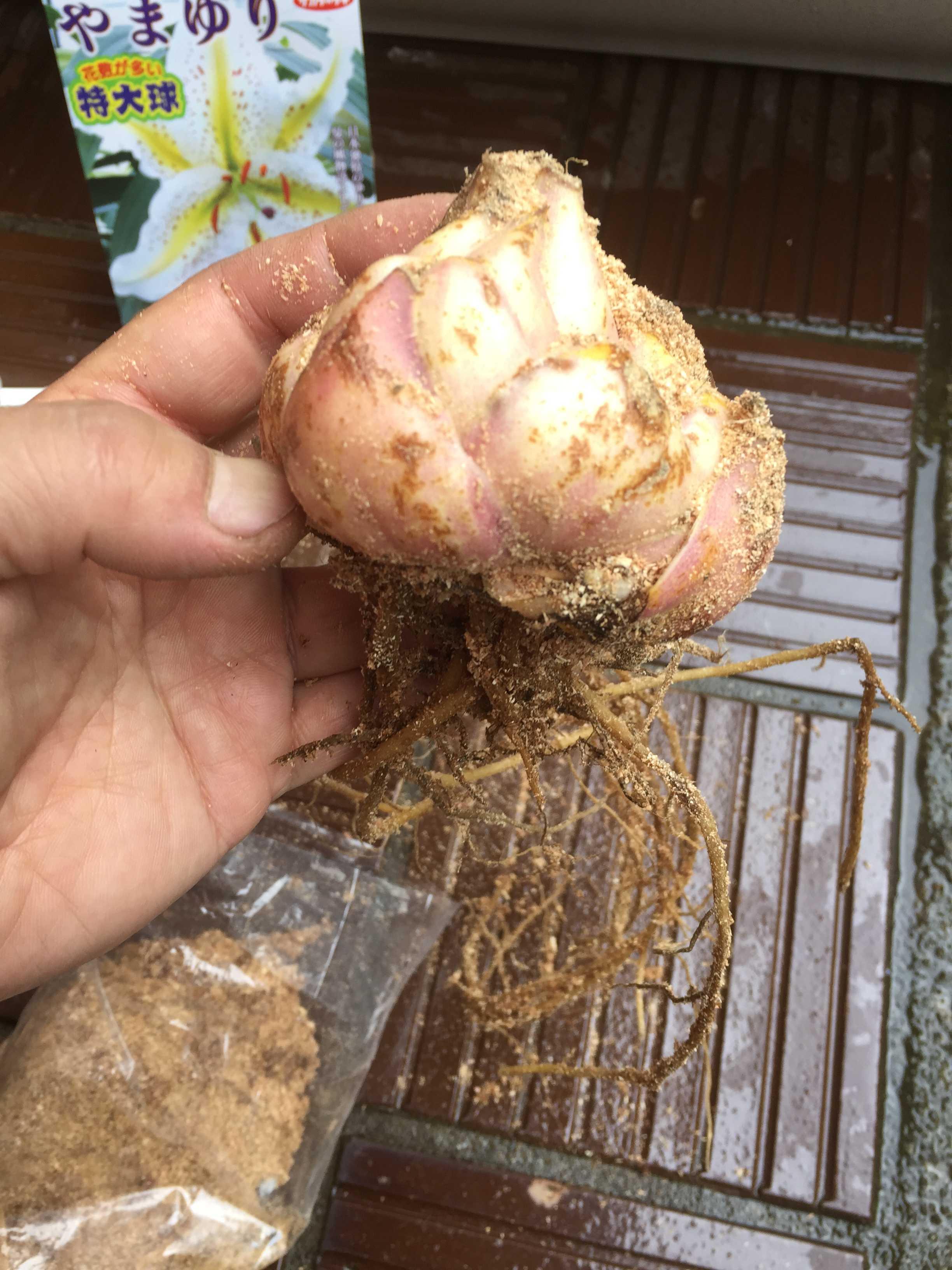 ヤマユリの鱗片挿しに使う特大の球根