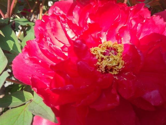 赤い牡丹の花
