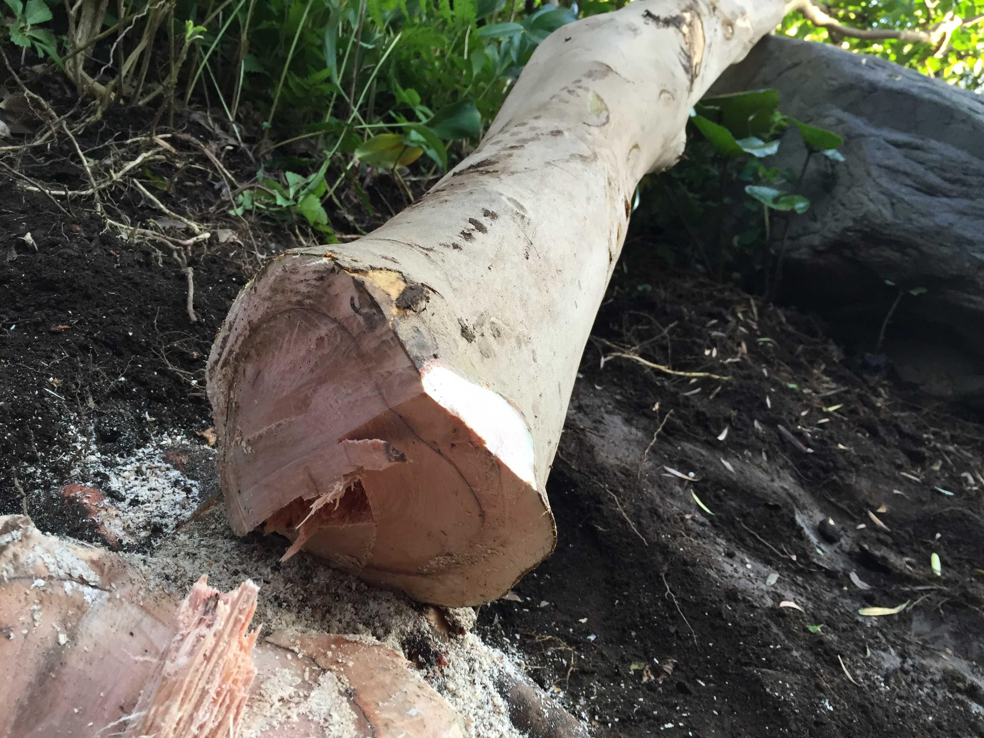 倒した椿(ツバキ)の木