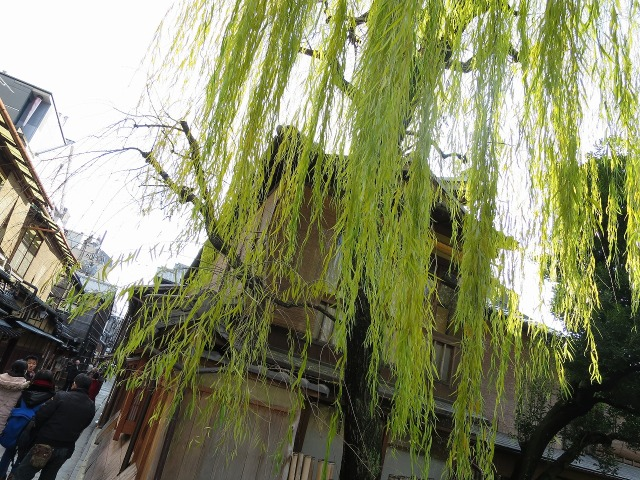 祇園 巽橋の枝垂れ柳