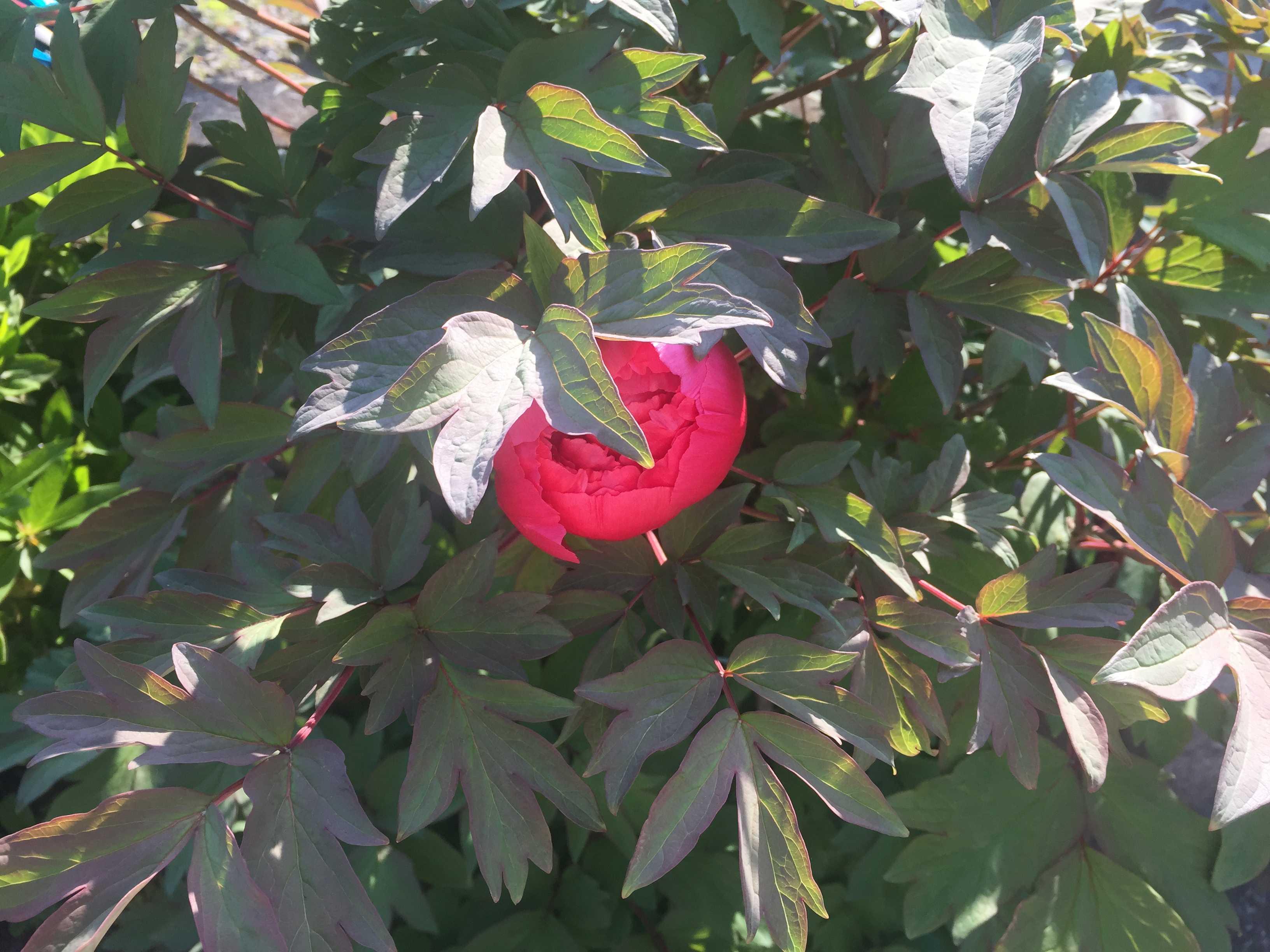 赤い牡丹(ボタン)の開花