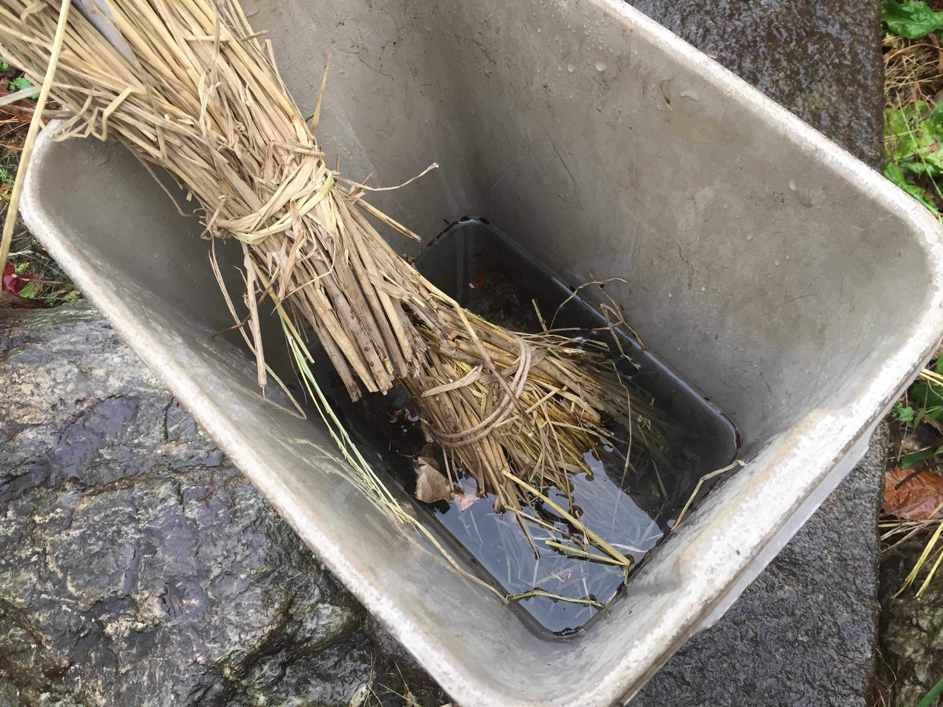 禅寺丸柿の植え付け前の吸水