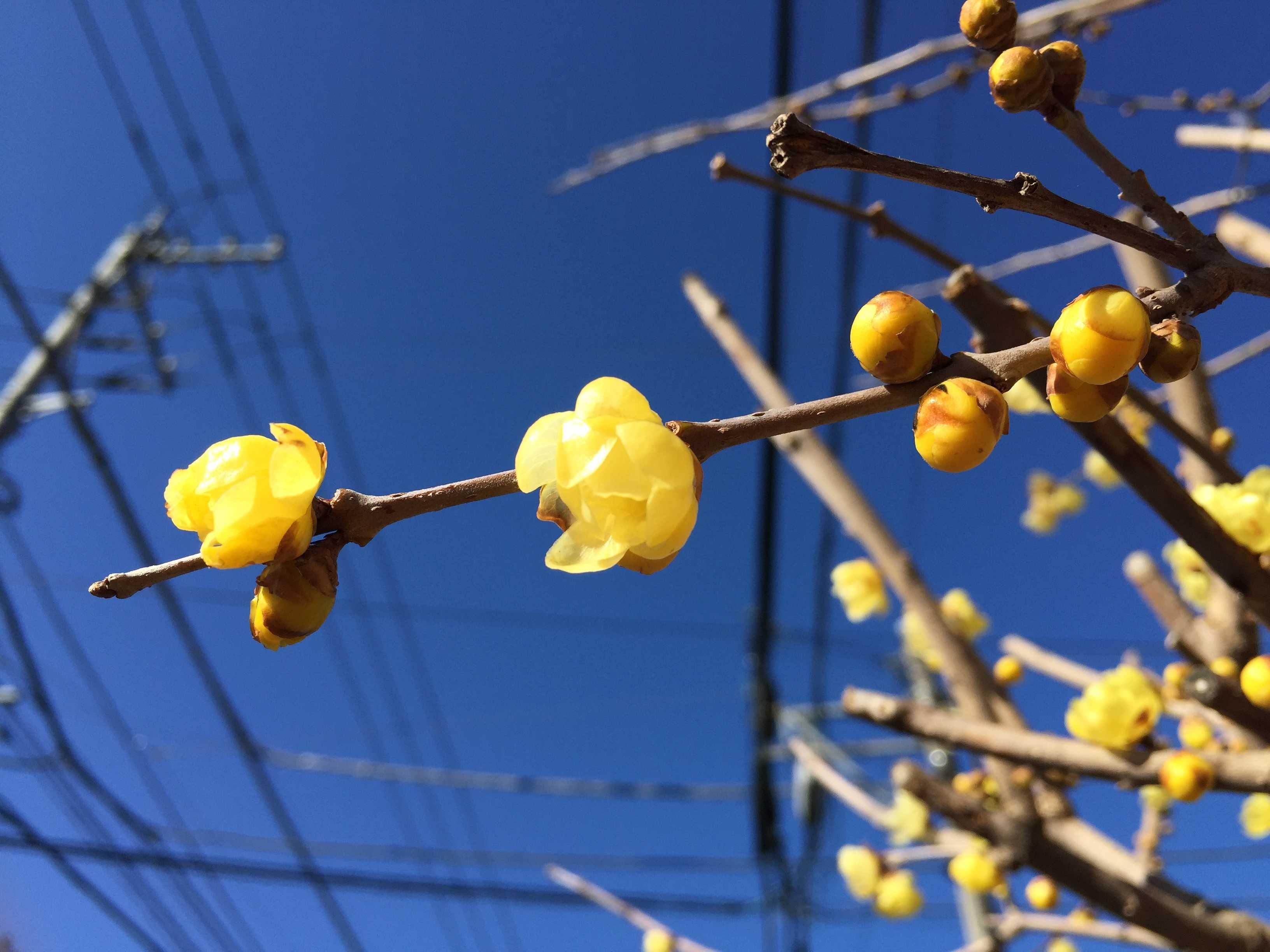 蝋梅(ロウバイ/蠟梅/臘梅)の花