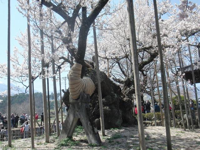 満身創痍の山高神代桜
