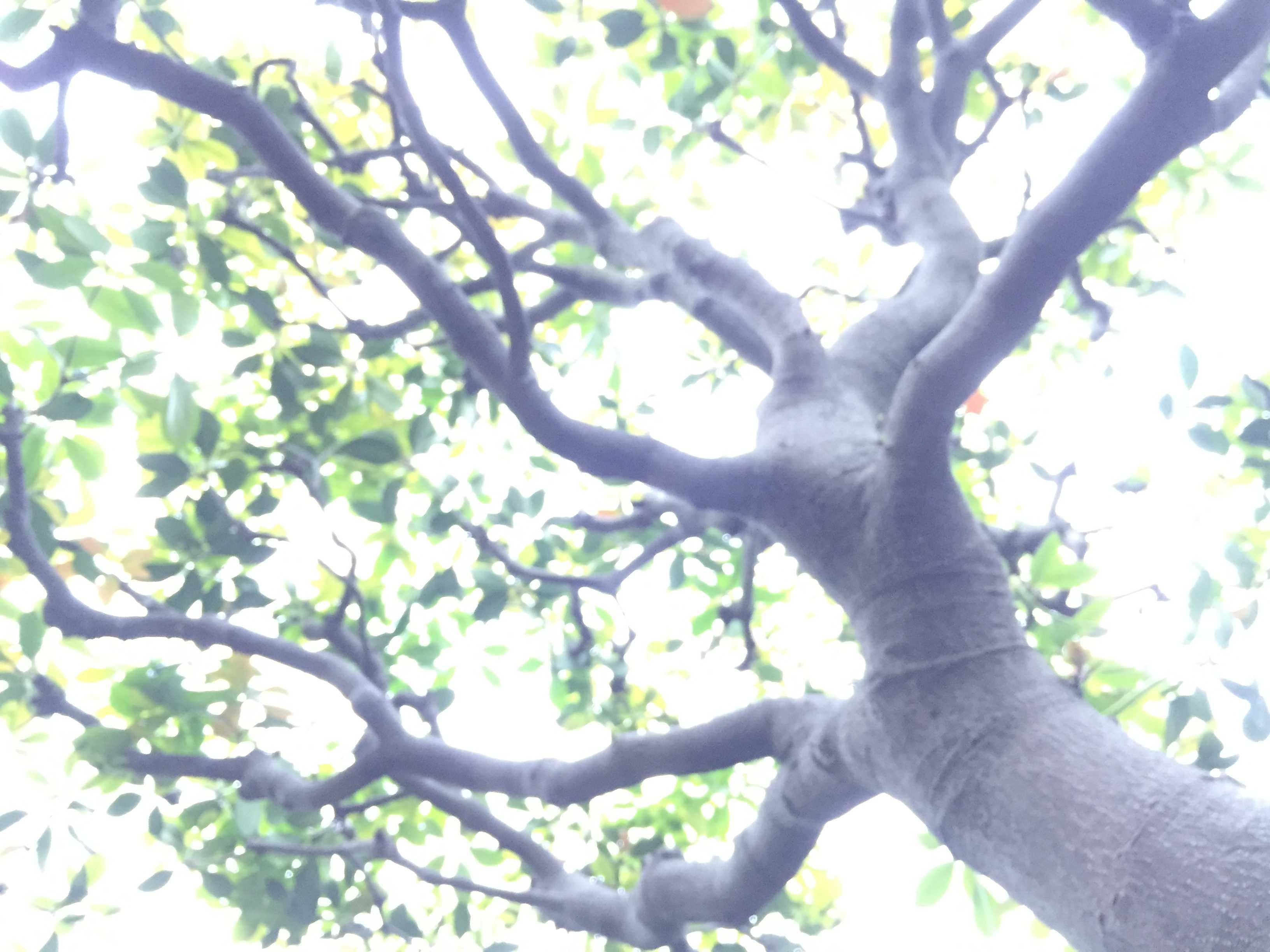 三大庭木の一つ「モッコク」