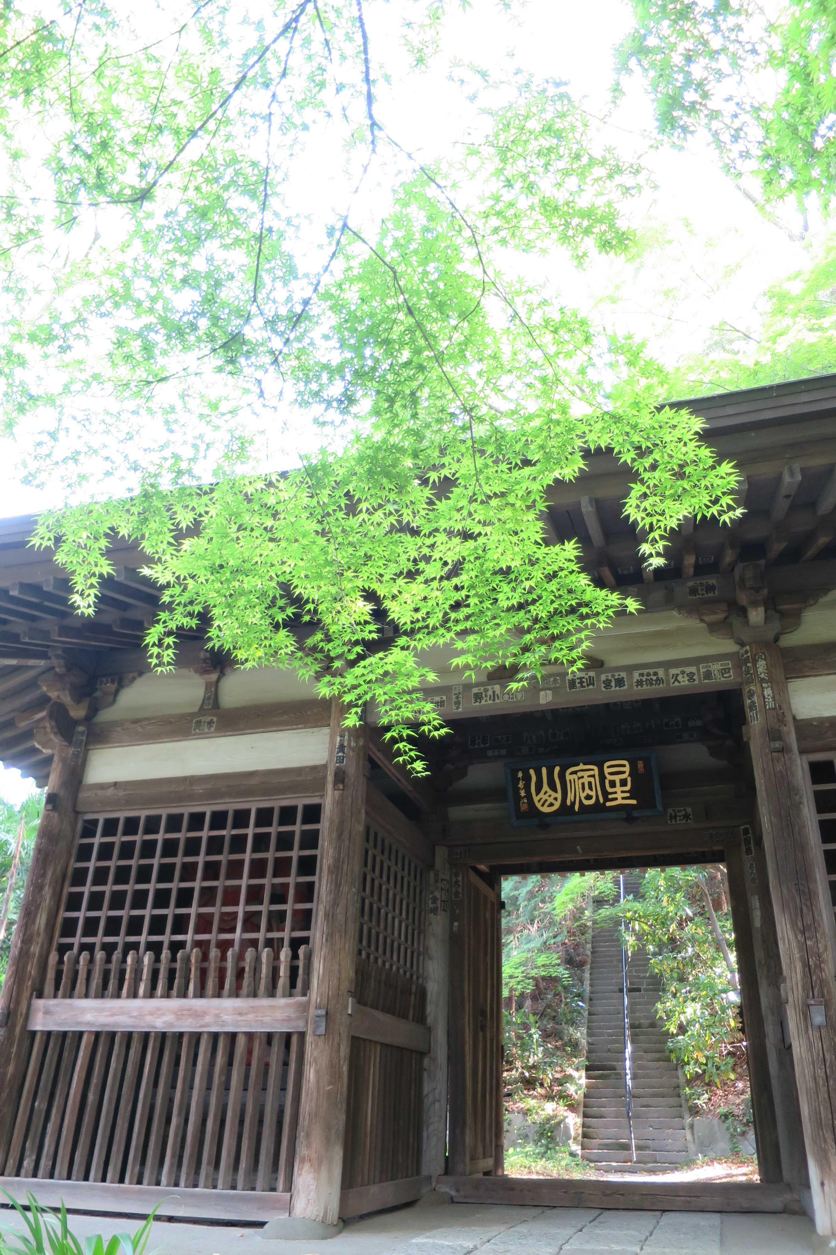 モミジの新緑と王禅寺の山門(仁王門)