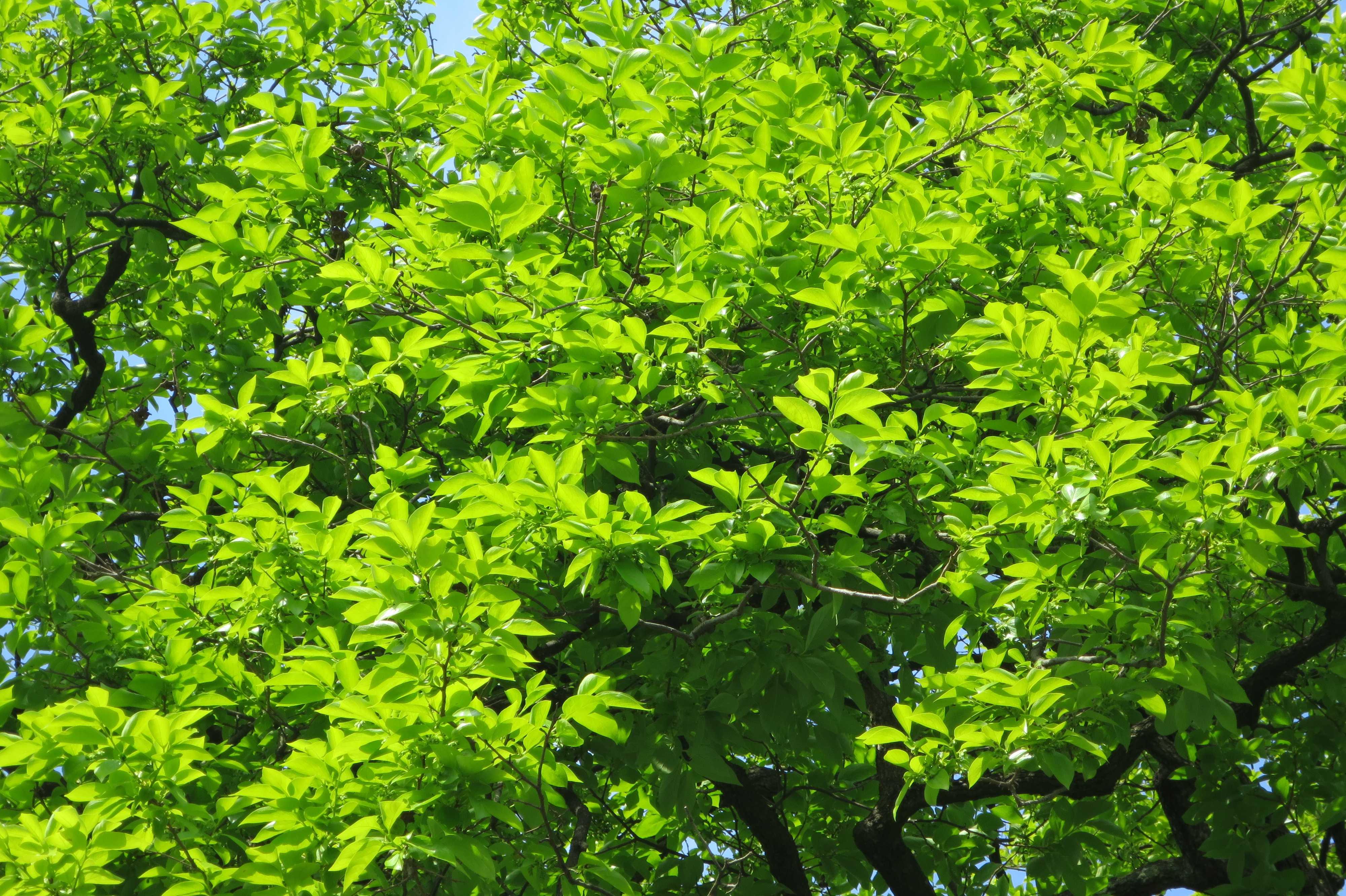 岡上の禅寺丸柿の木(カキノキ)の新葉