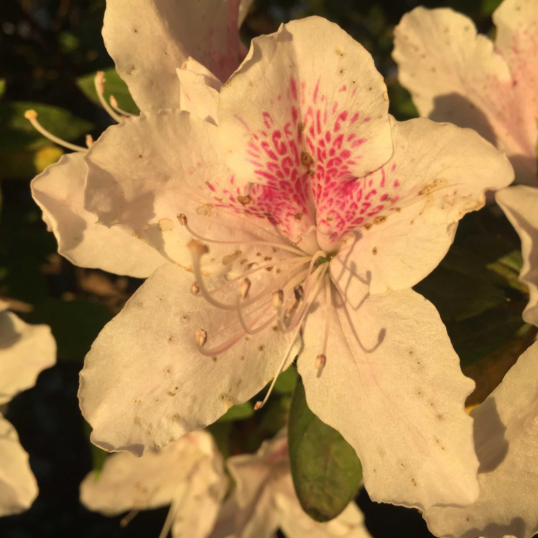 白いツツジのピンクの蜜標(ネクターガイド)