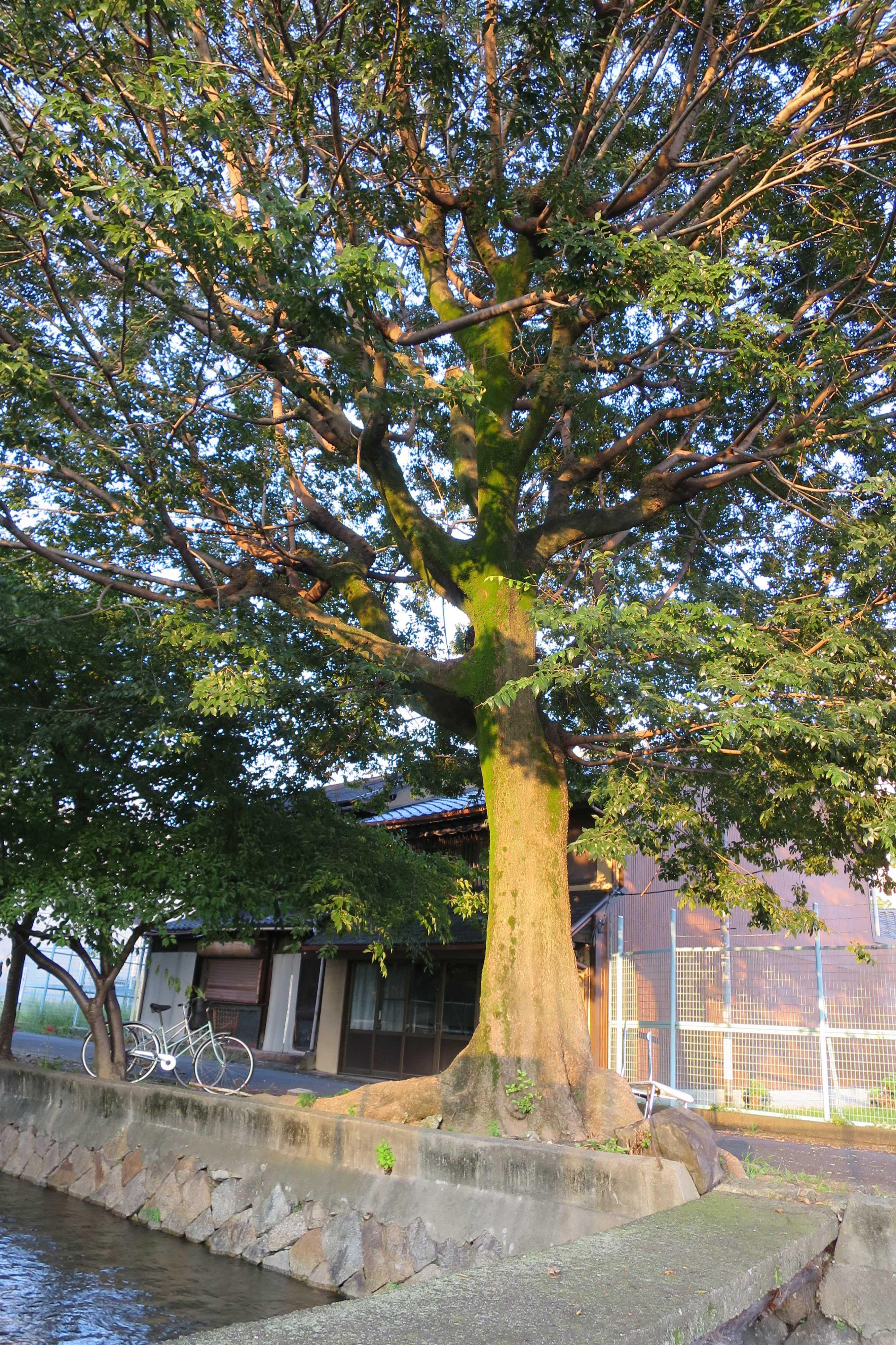 京都・崇仁地区 - 大きな木と自転車と高瀬川、そしてネットフェンス