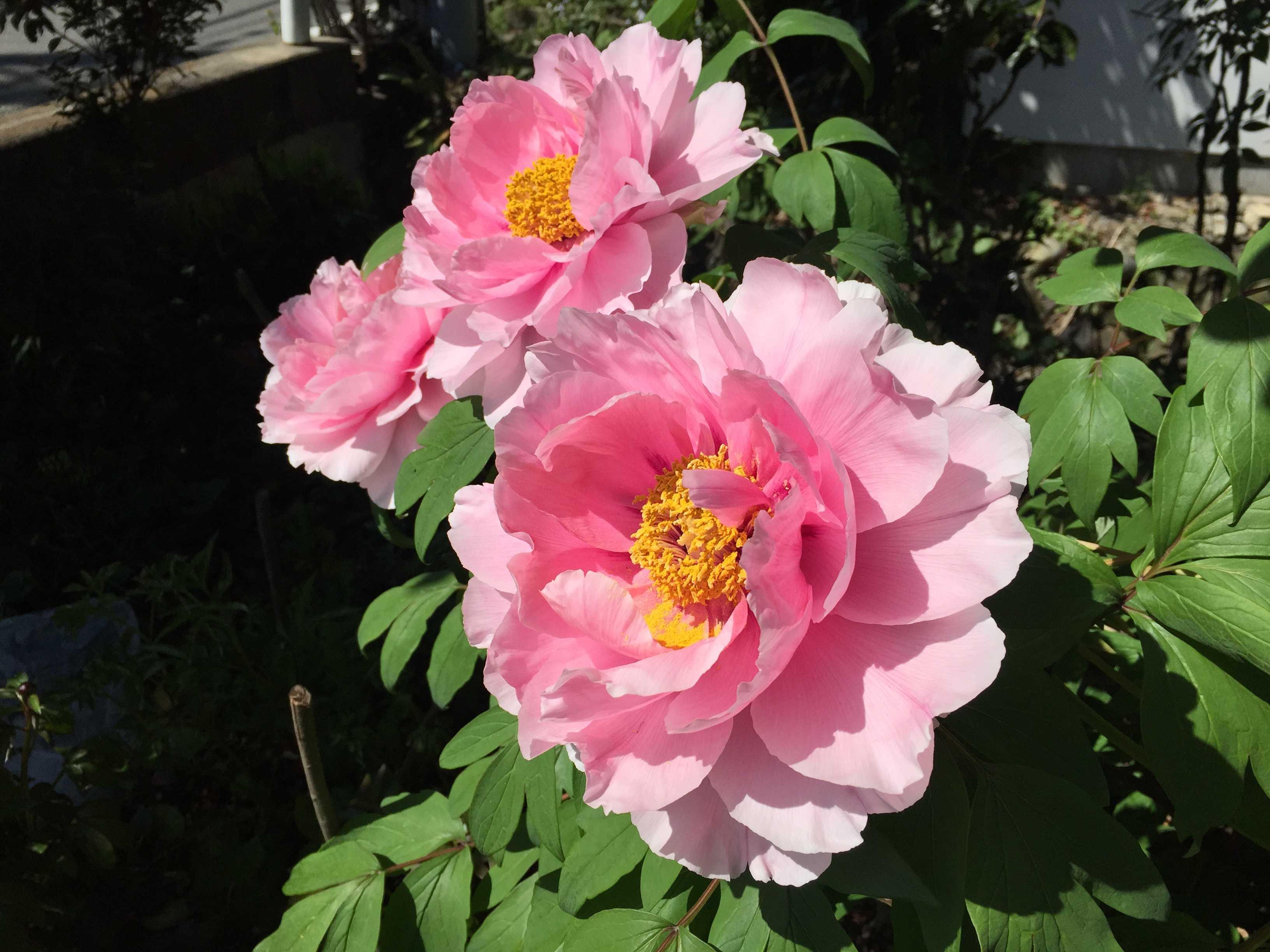 咲き誇る牡丹