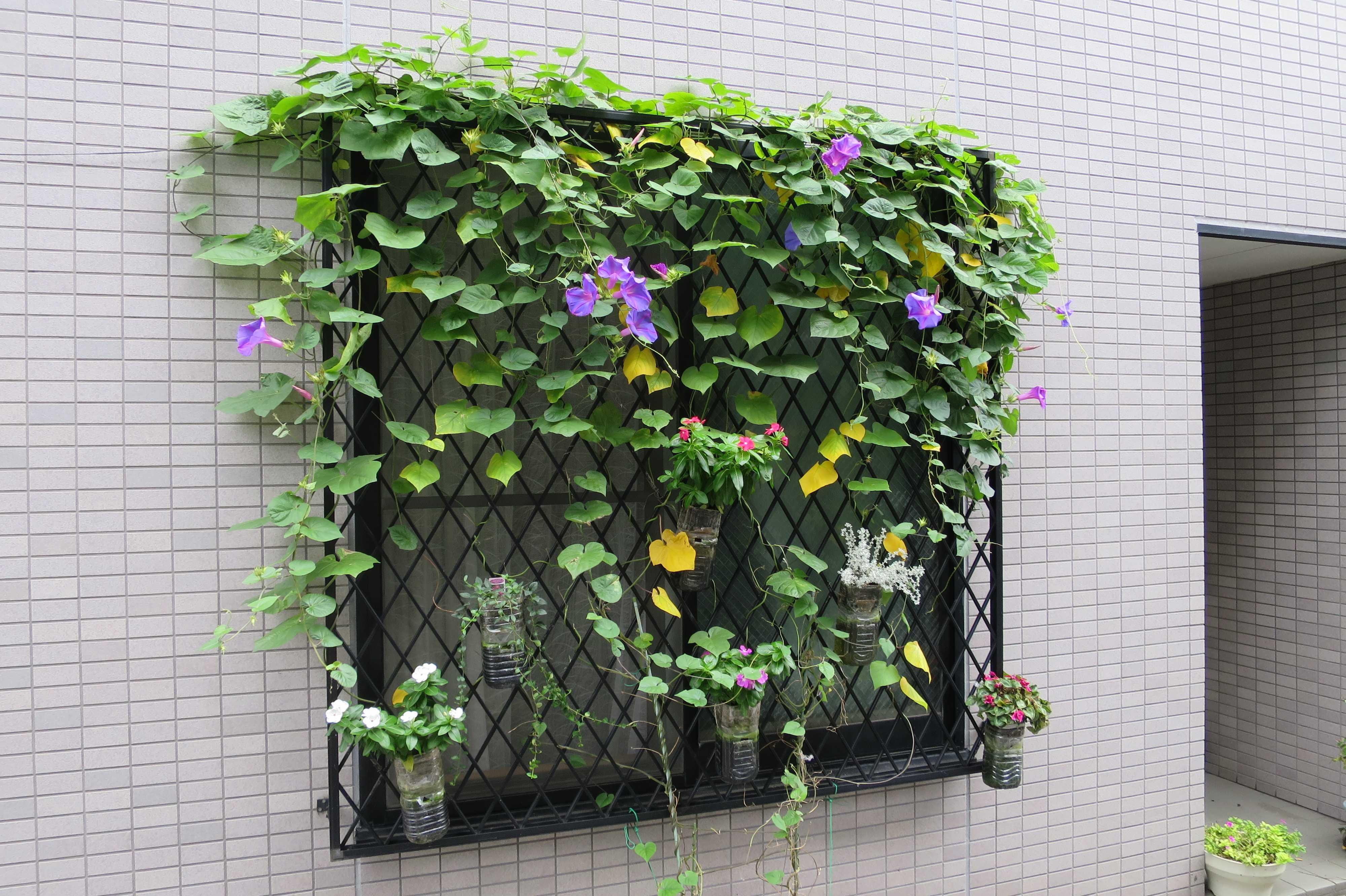 窓の朝顔 - 東京都品川区