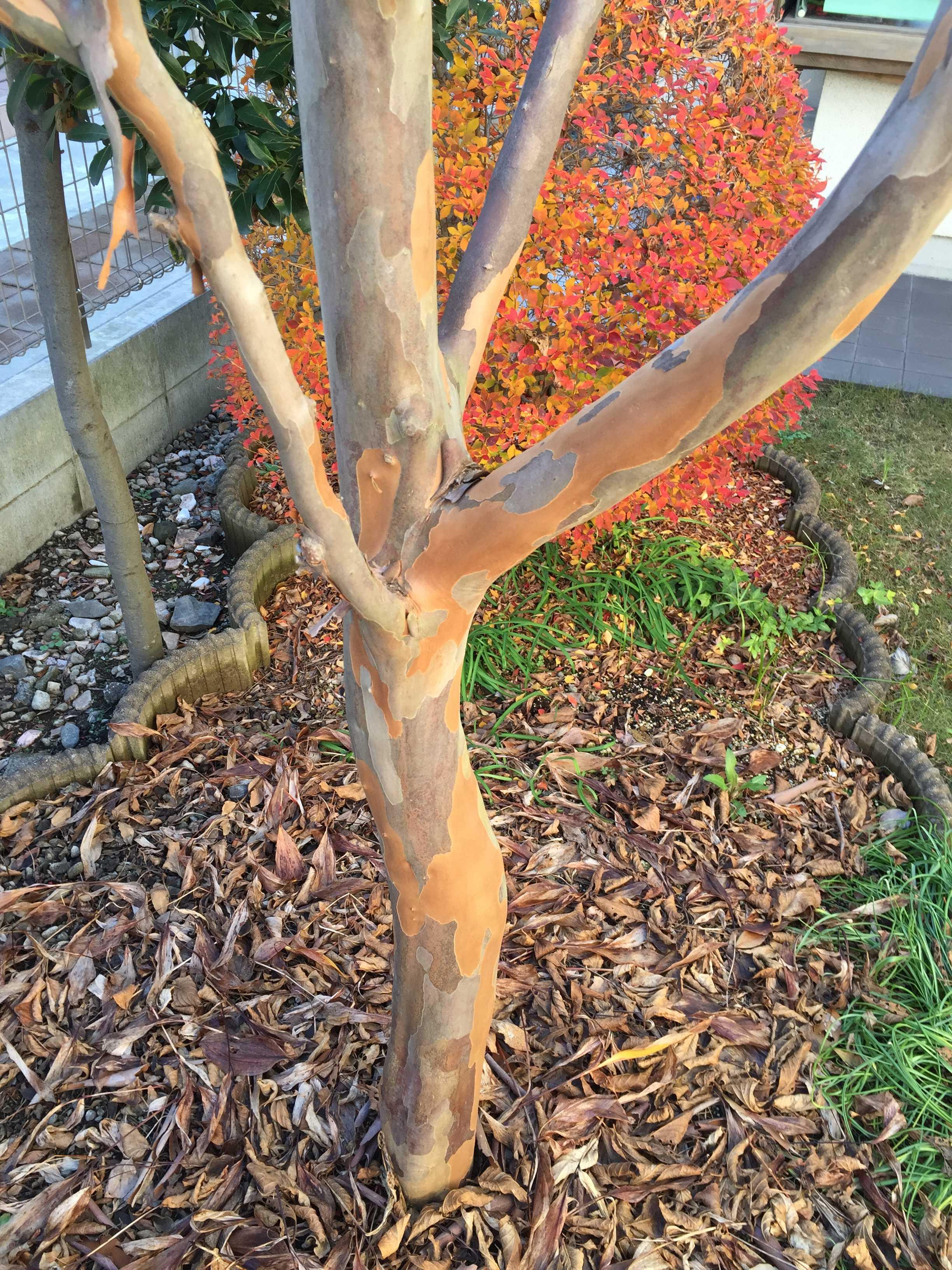 シャラの木(沙羅の木)の樹皮