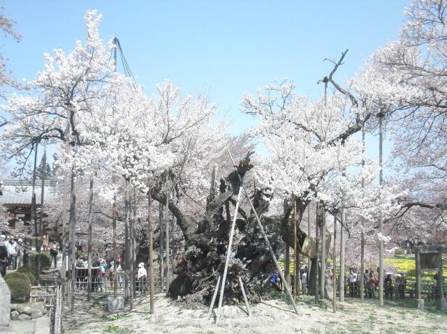 樹齢2000年 山高神代桜
