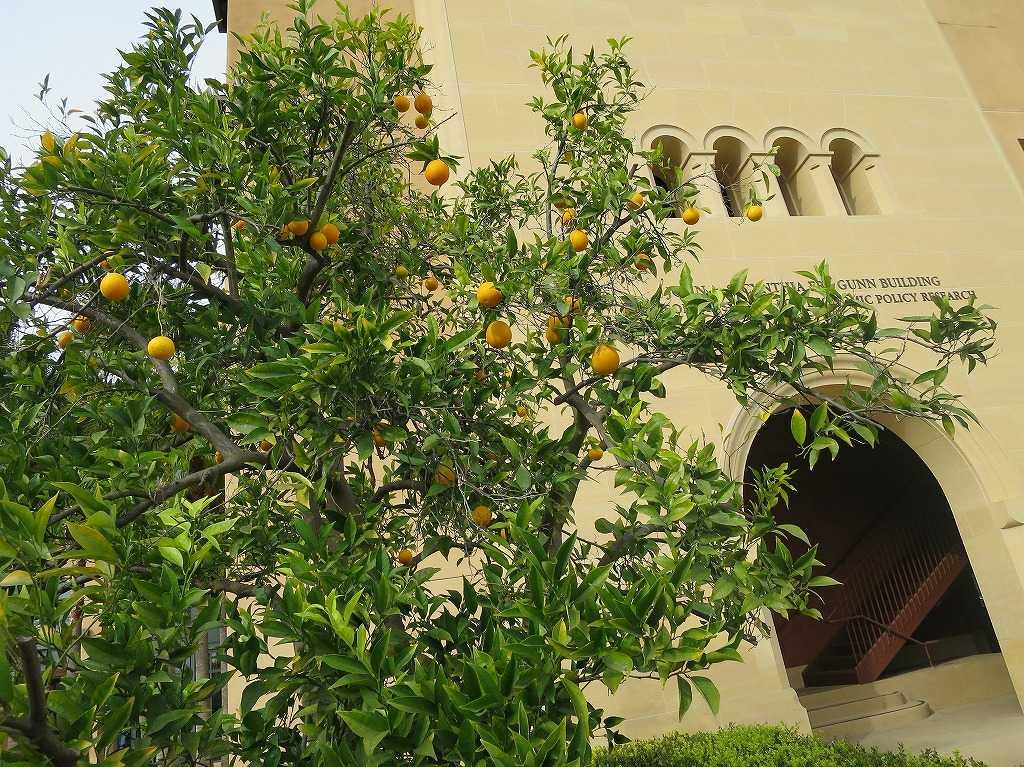 スタンフォード大学 - 柑橘類