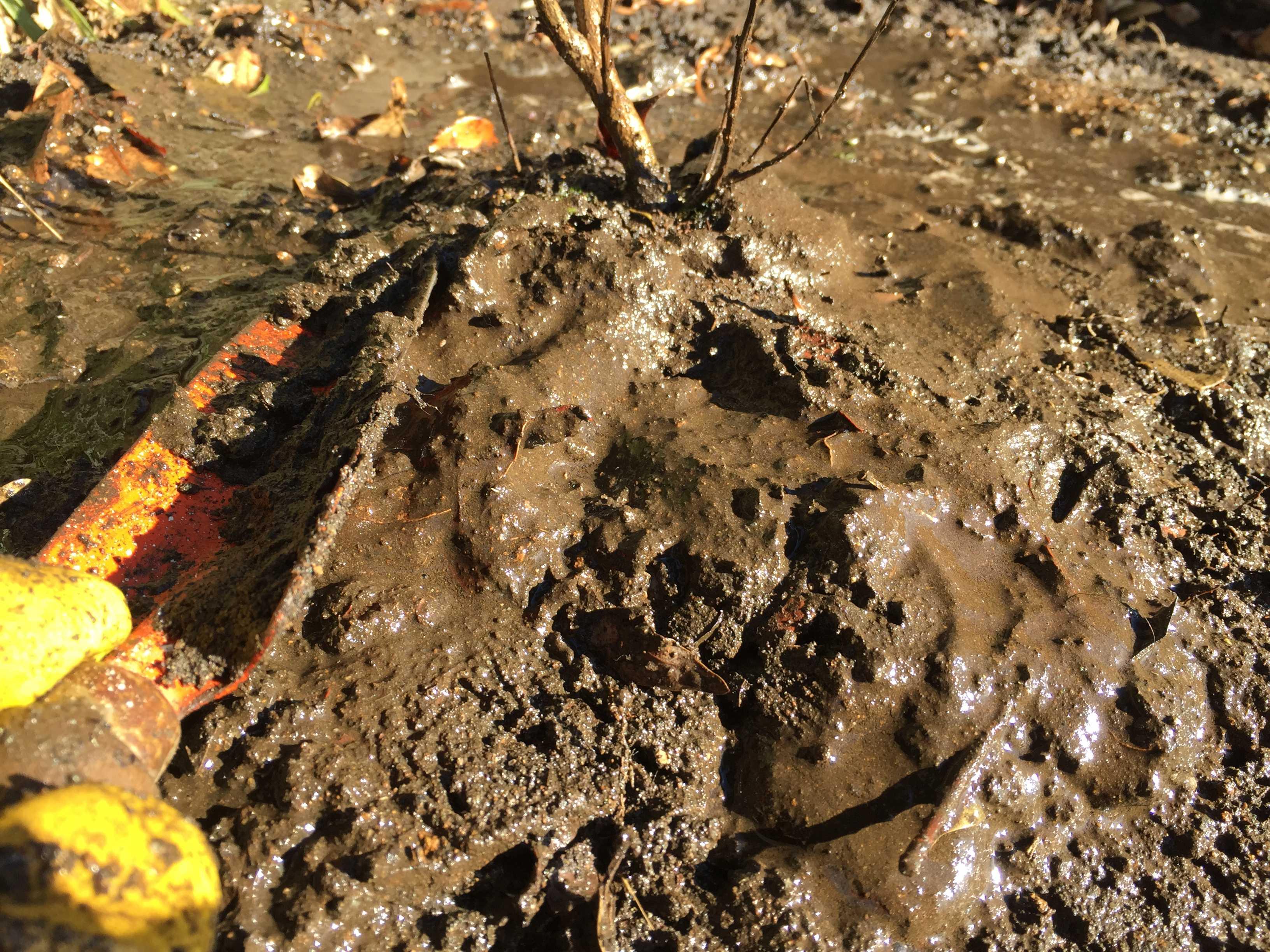 矮性サルスベリの定植