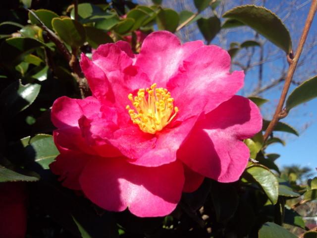 真っ赤な山茶花(サザンカ)