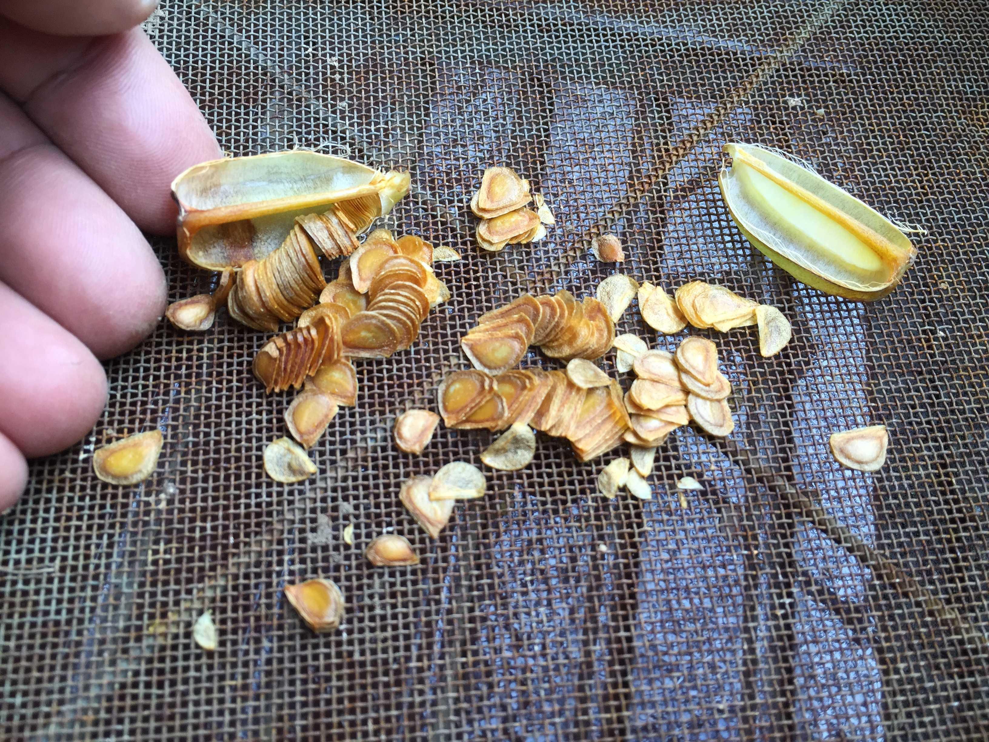 ヤマユリの種子繁殖/実生 - ふるい(篩)