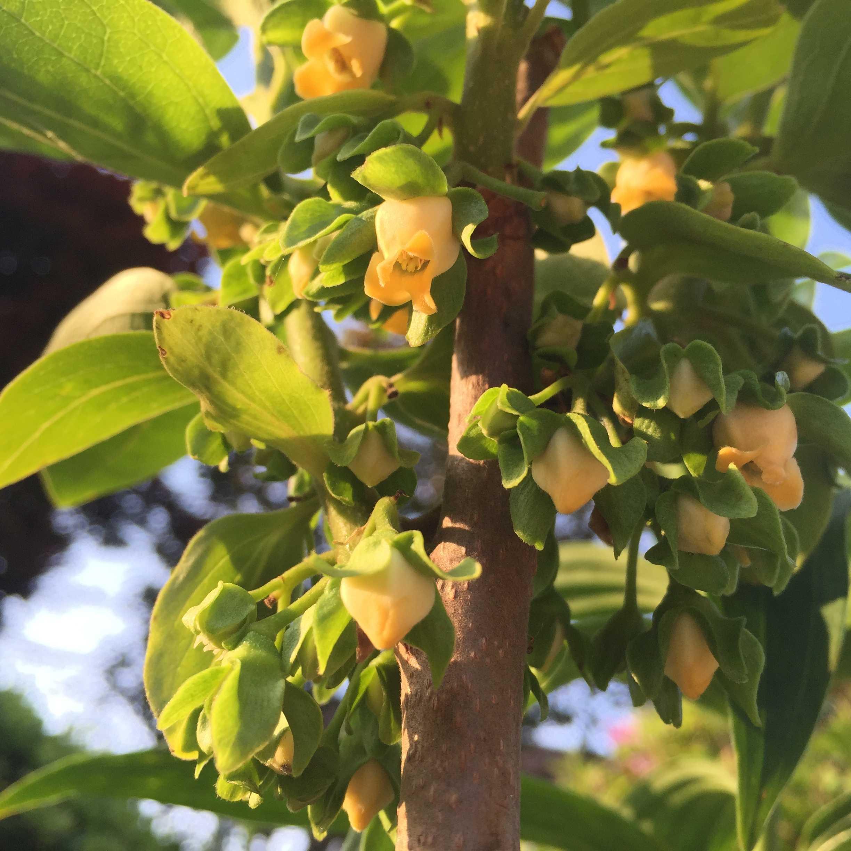 禅寺丸の柿の花