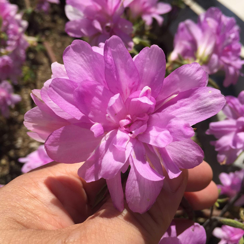 ツツジの名花「藤万葉」