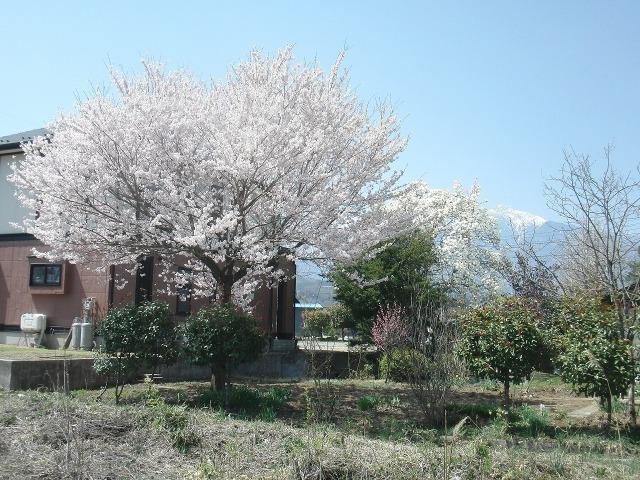 山梨県北杜市武川周辺(武川)の桜とコブシ