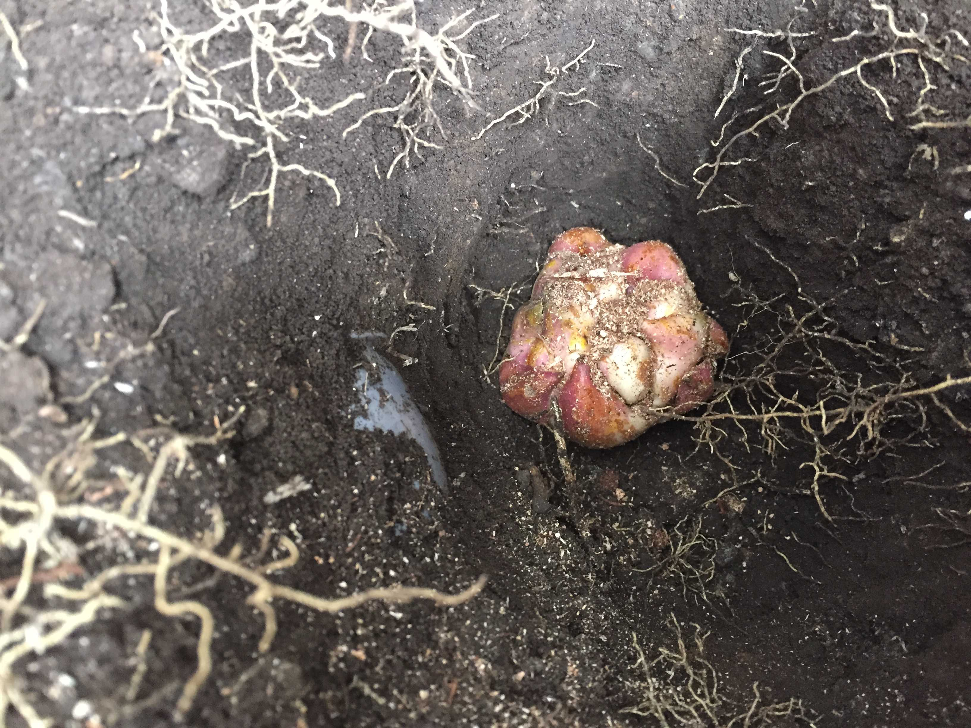 下水のパイプの近く - やまゆりの球根の植え付け