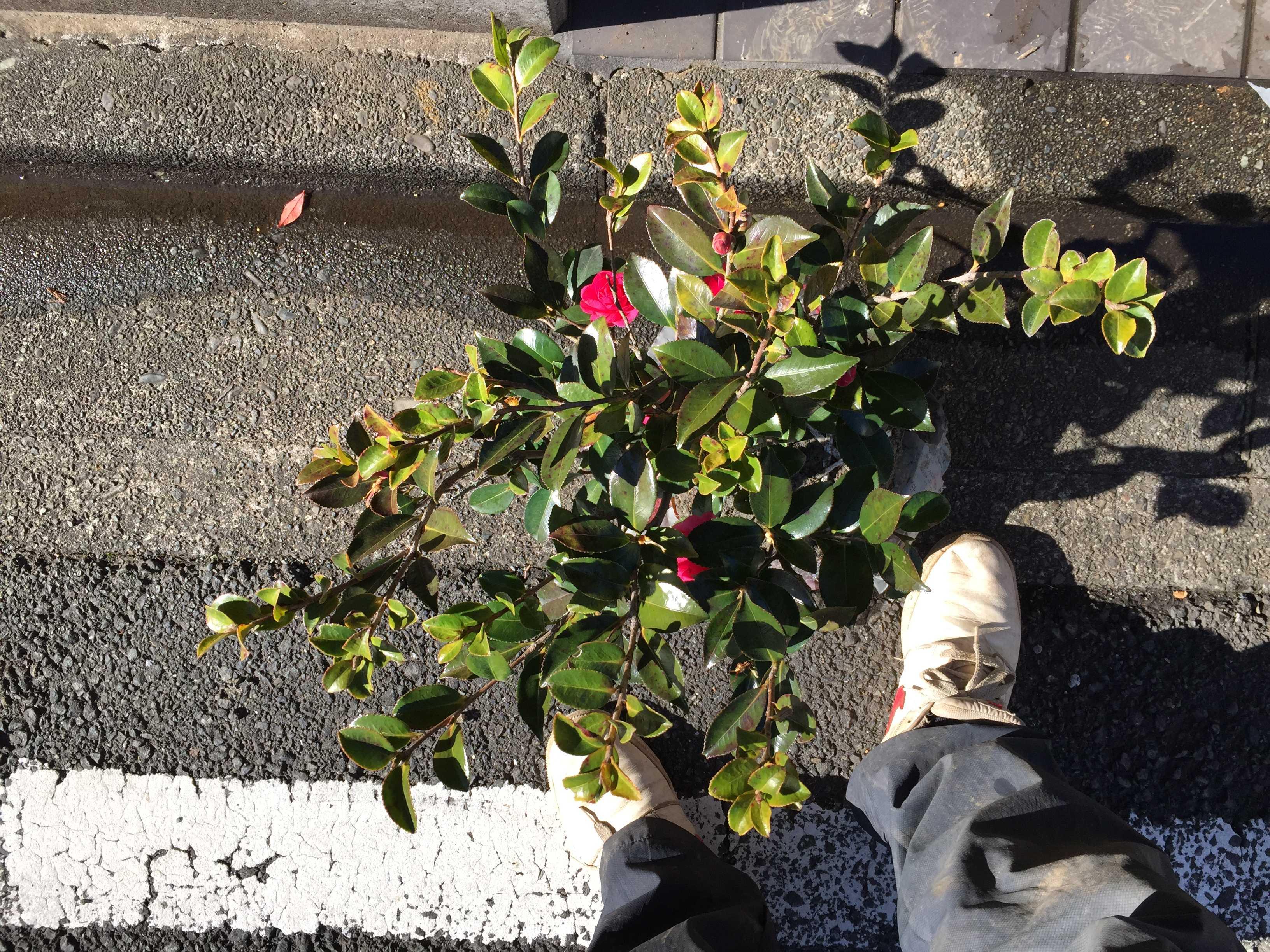 山茶花(シシガシラ)の根巻き苗