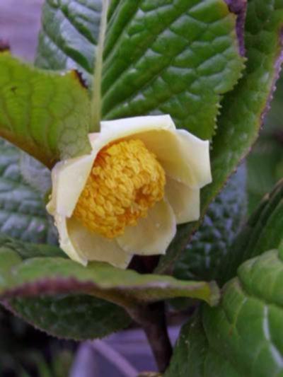 ムラウチィ(murauchii)- ベトナム産の原種ツバキ/黄花椿