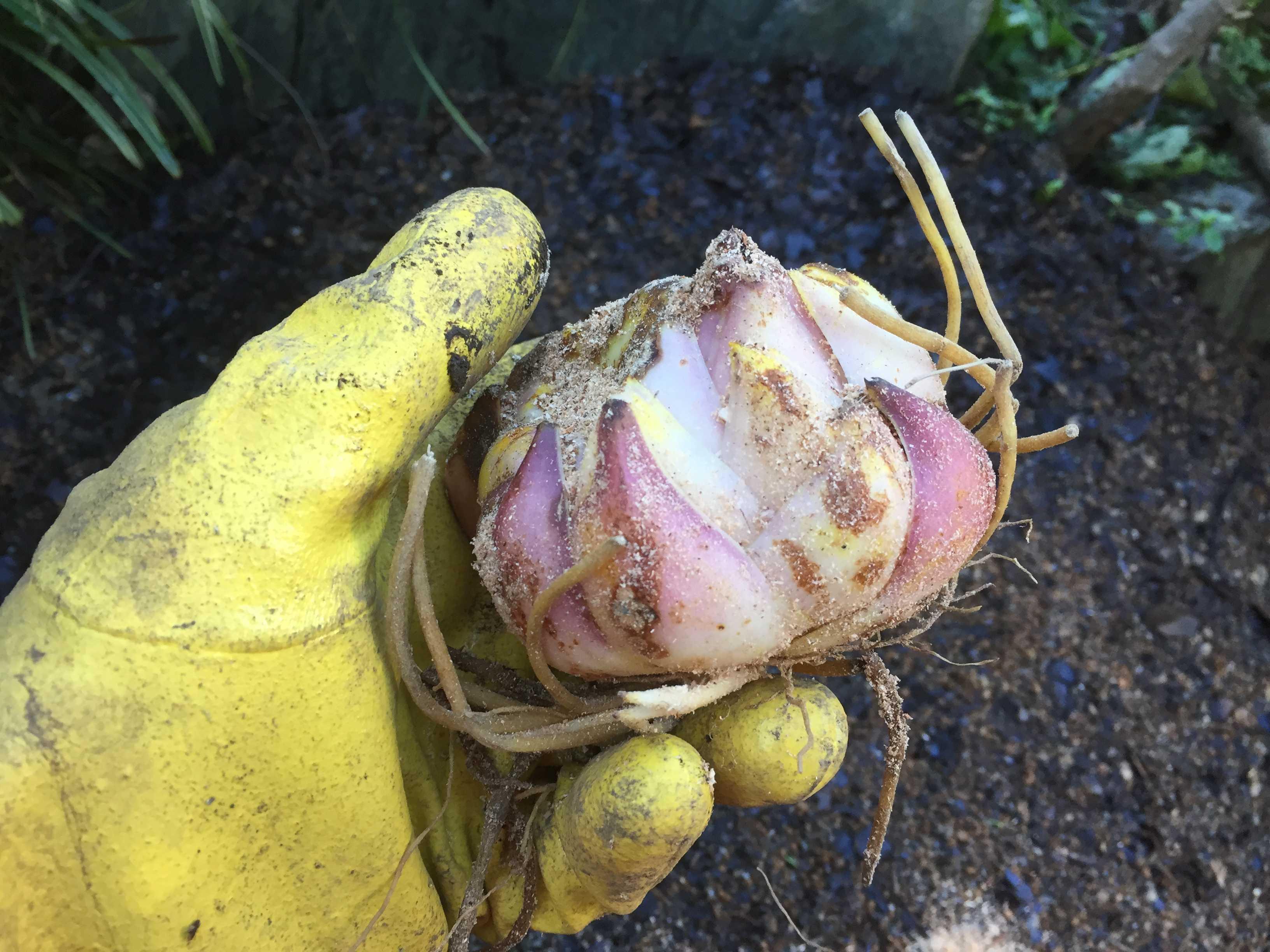 ヤマユリの球根植え付け - 特大球の球根