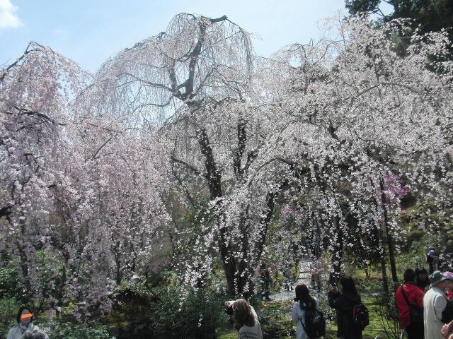 天龍寺・多宝殿前の桜