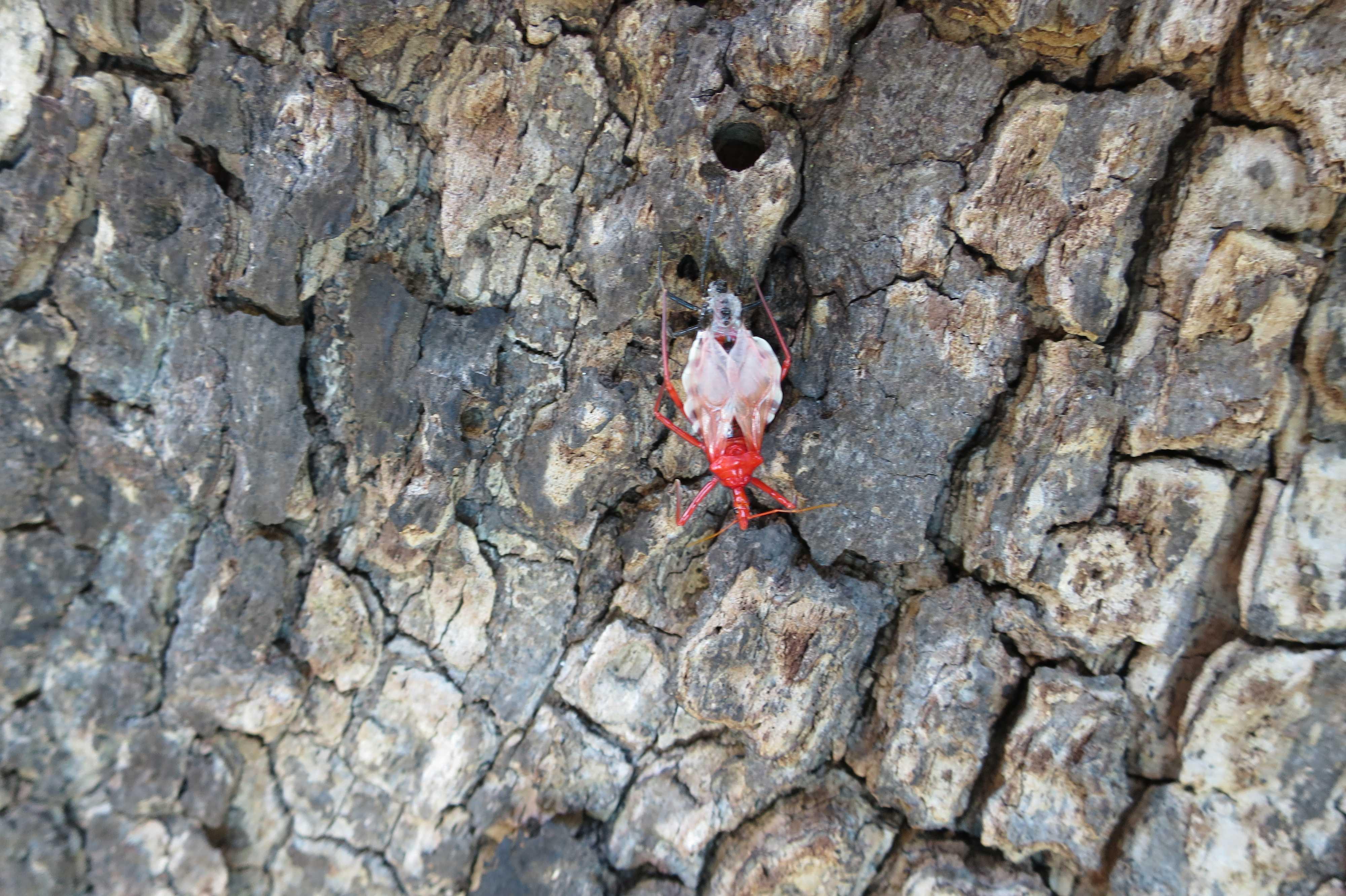 ヨコヅナサシガメ(横綱刺亀)- Agriosphodrus dohrni
