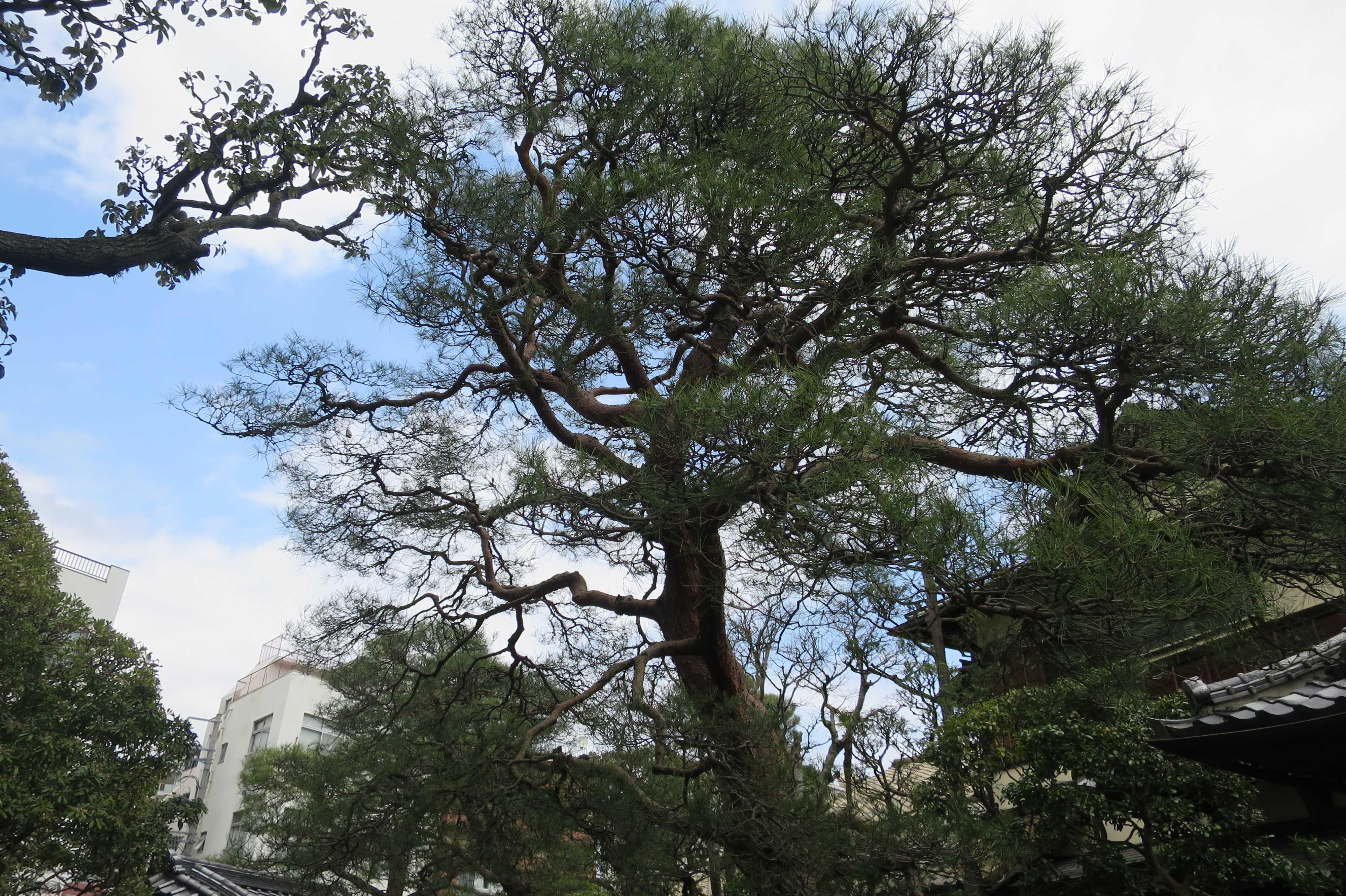 熱海 - 起雲閣の松