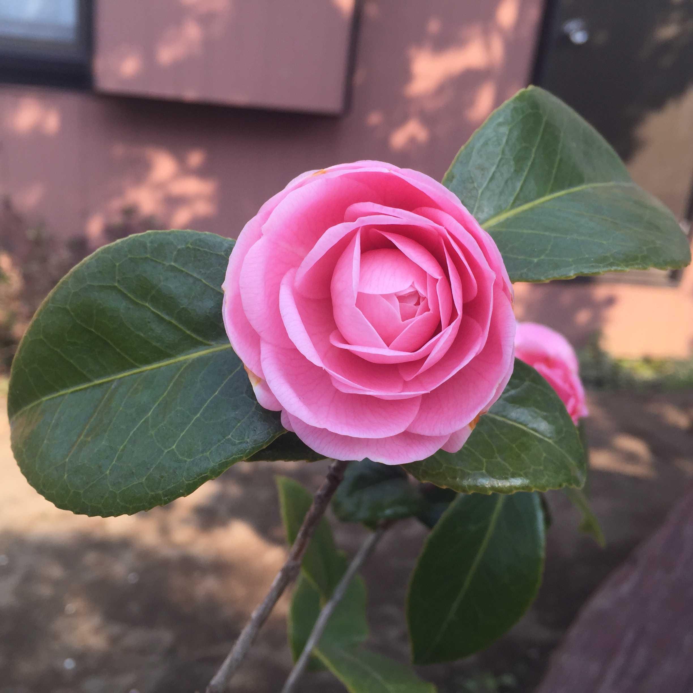 乙女椿の淡桃色の花びら