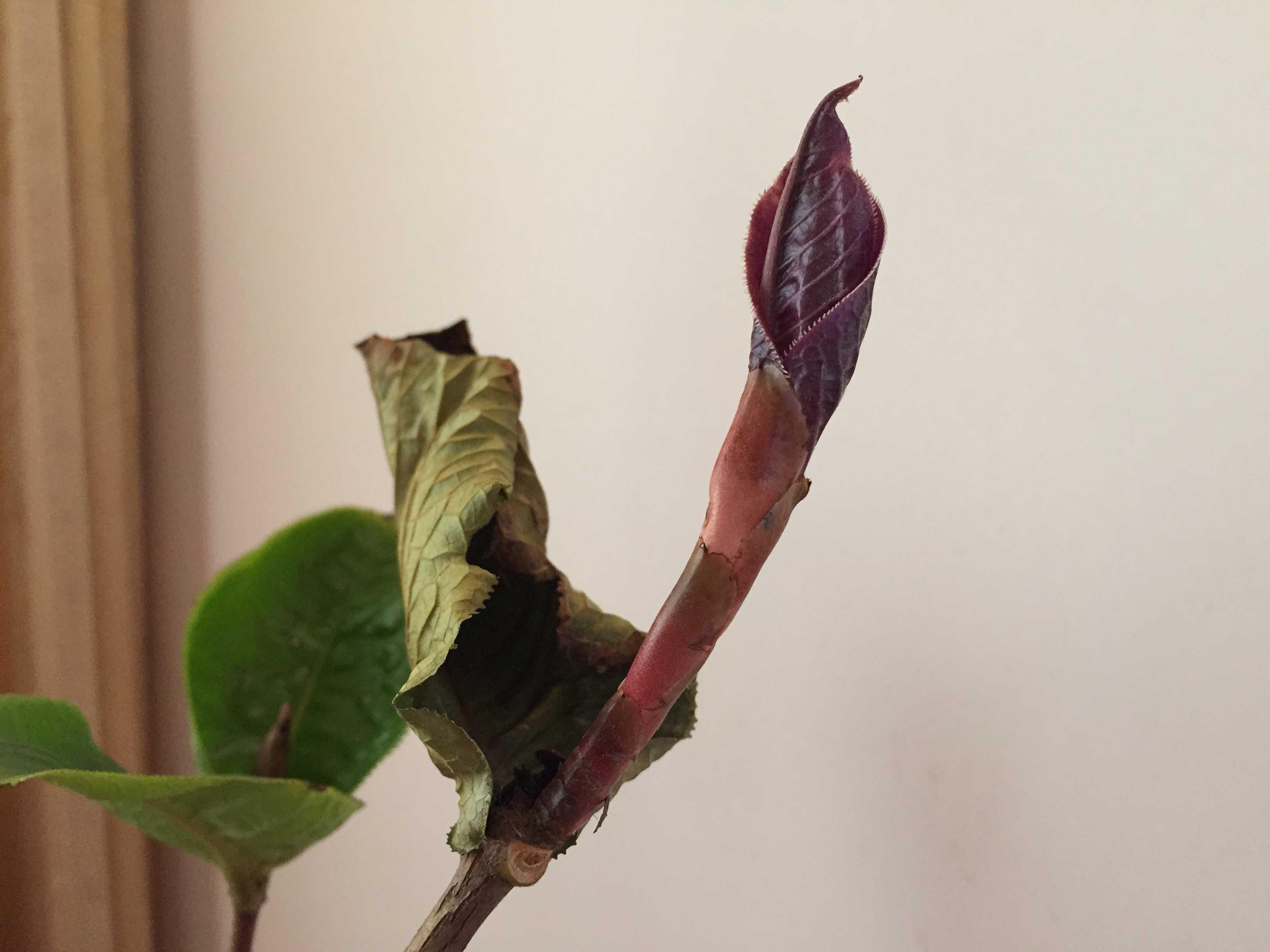 黄色のツバキ属原種「ムラウチィ」