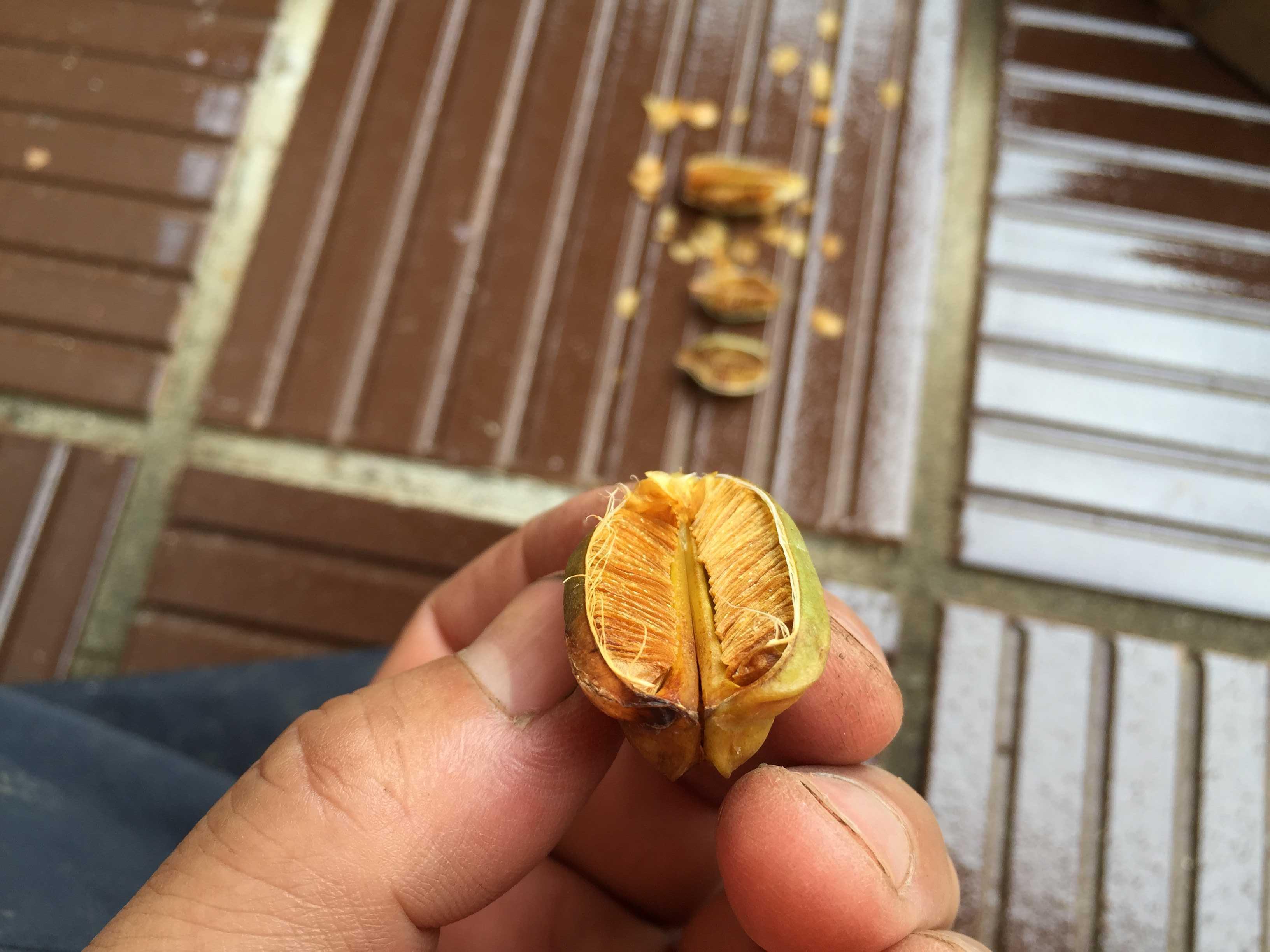 ヤマユリの種子