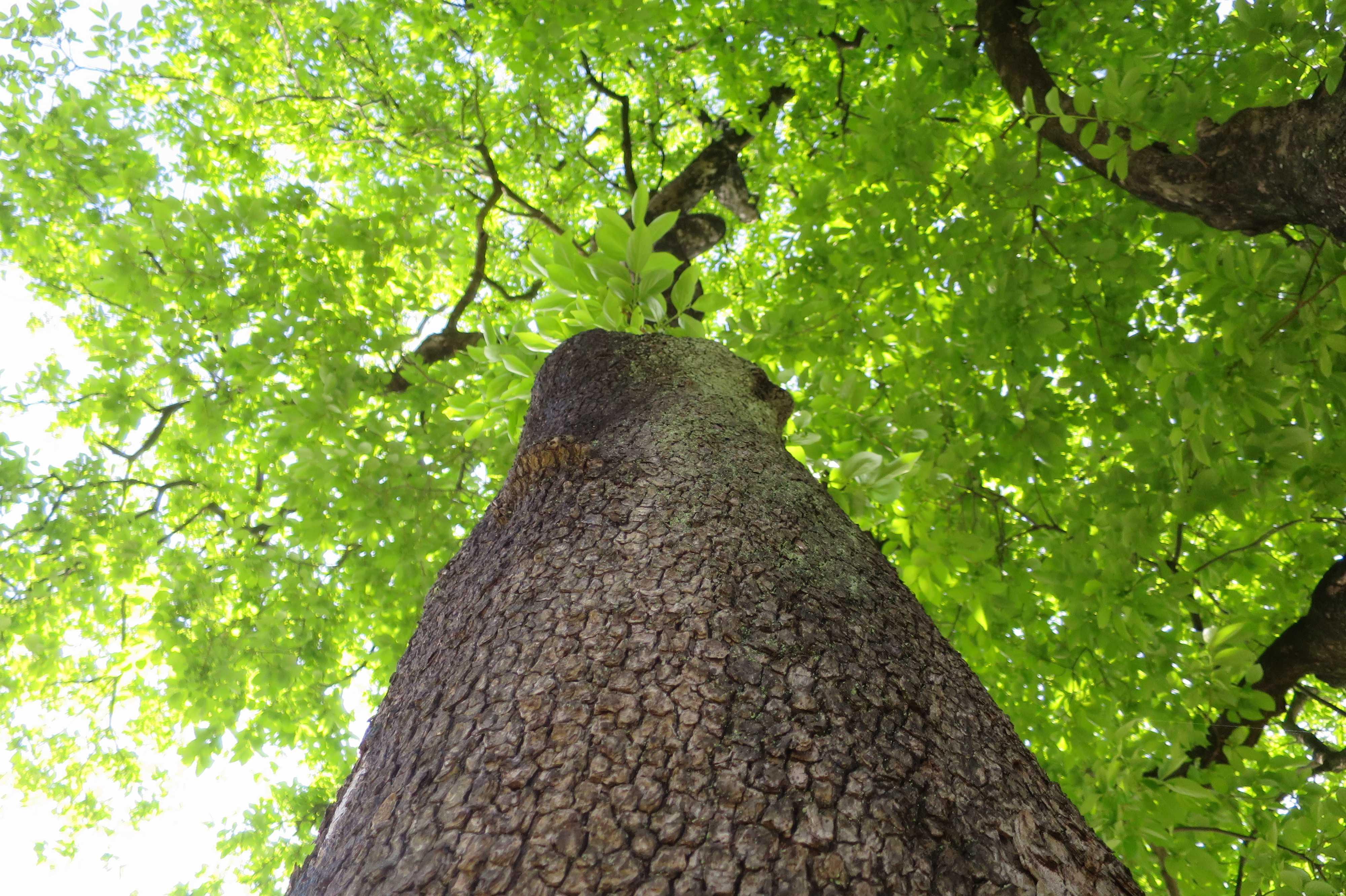 岡上の禅寺丸柿の巨木