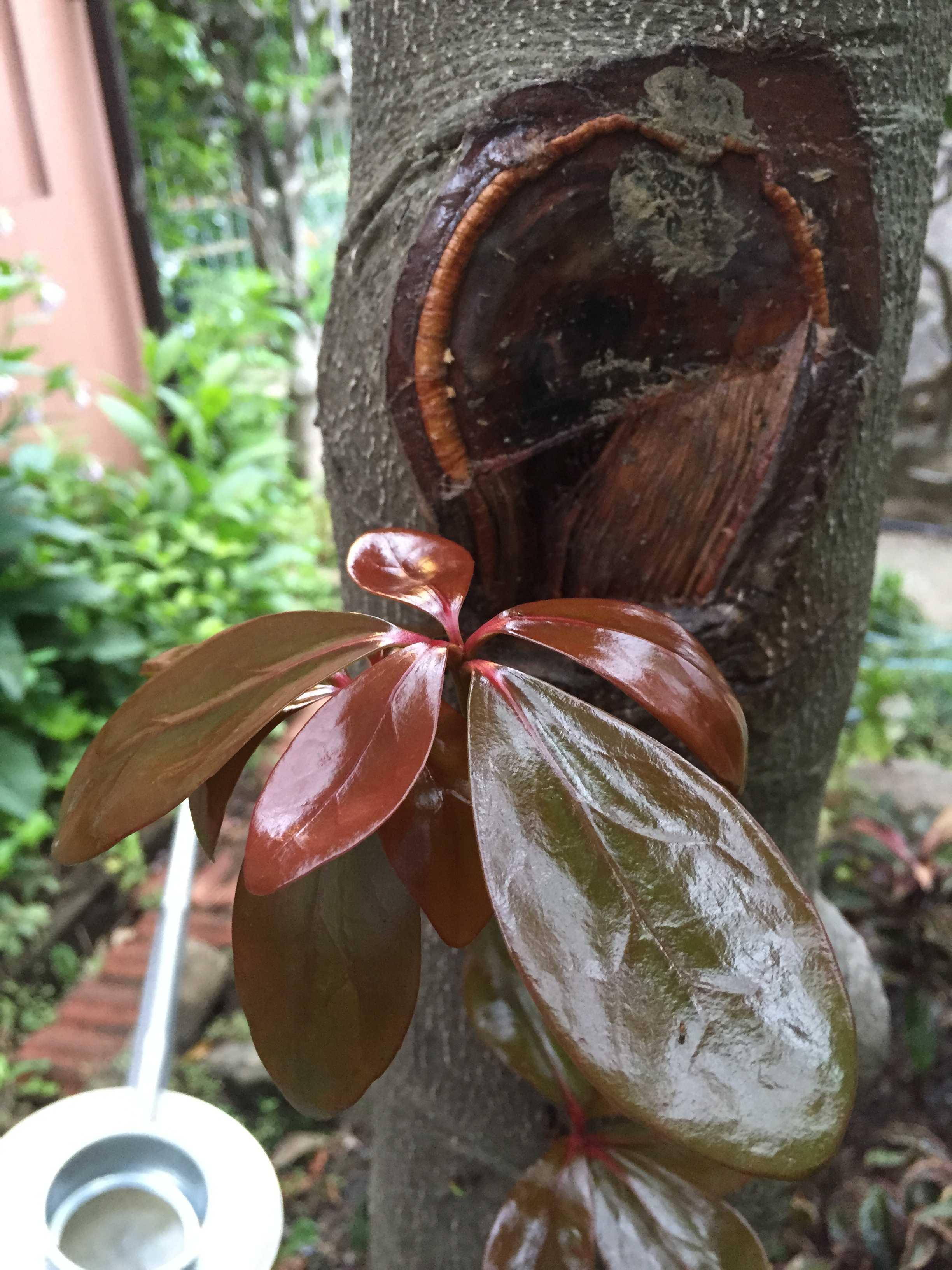 モッコクの胴吹き枝(幹吹き枝)