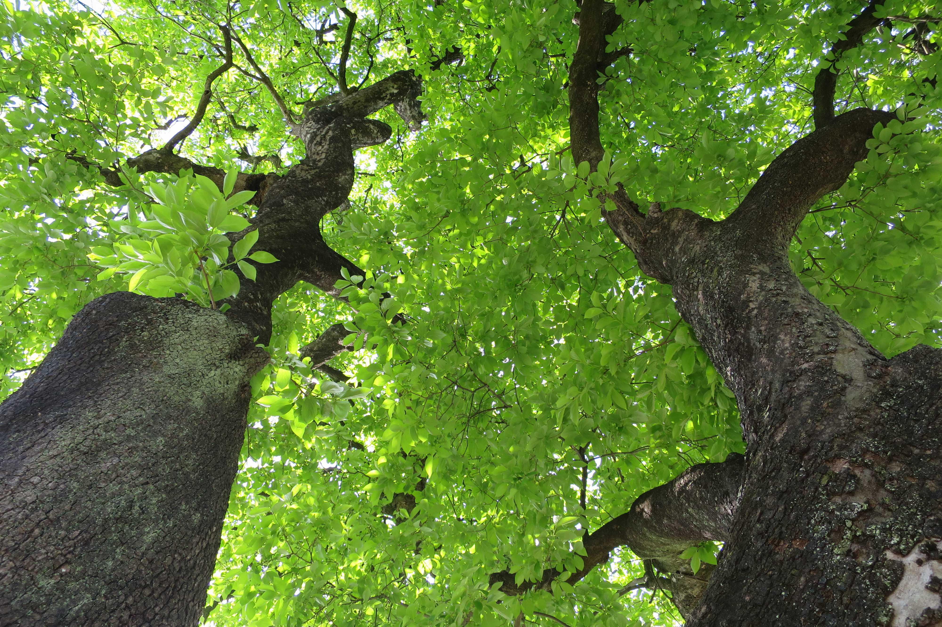 岡上の禅寺丸柿の古木